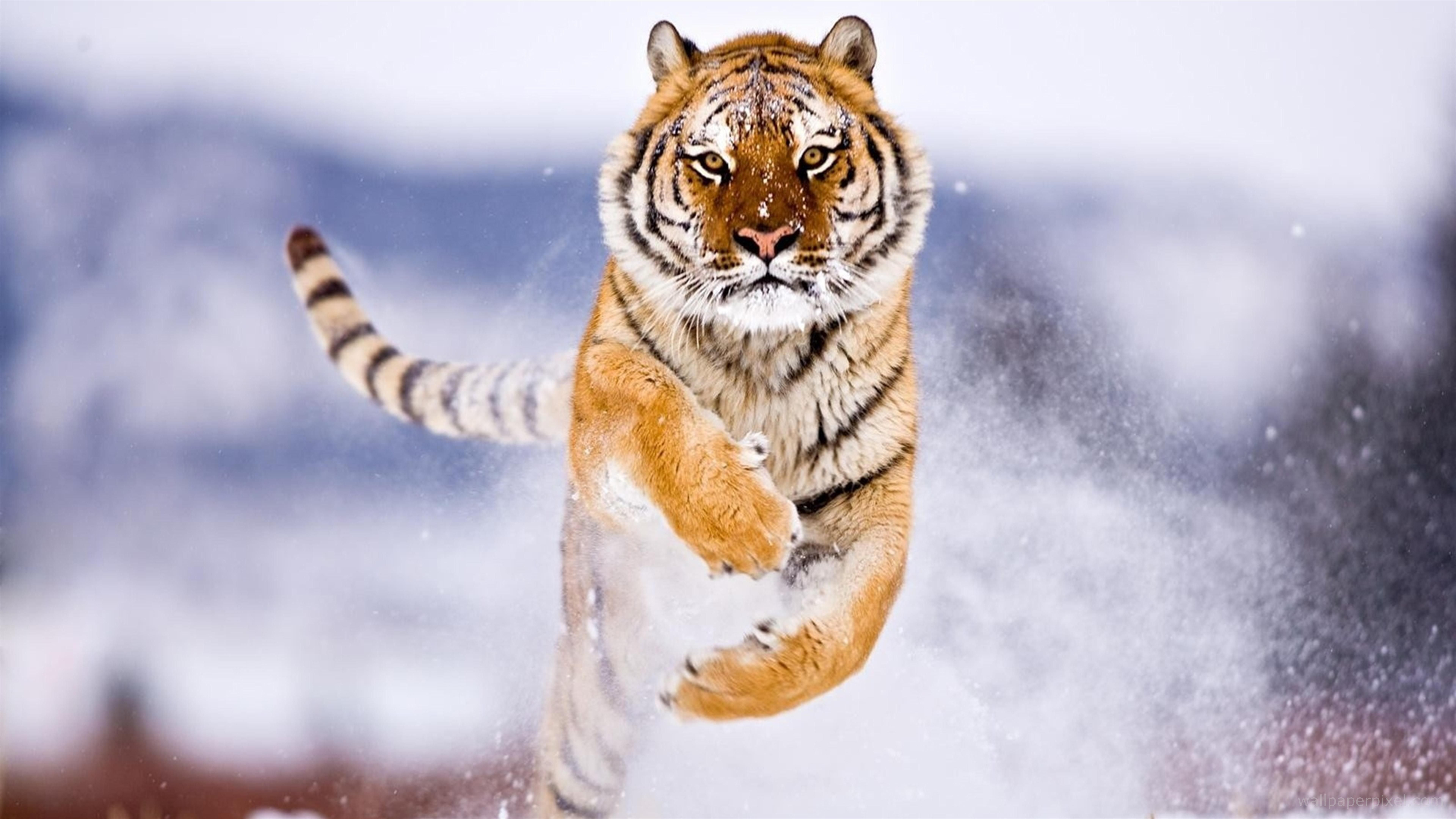 Tiger In Snow, HD Animals, 4k Wallpapers, Image, Backgrounds
