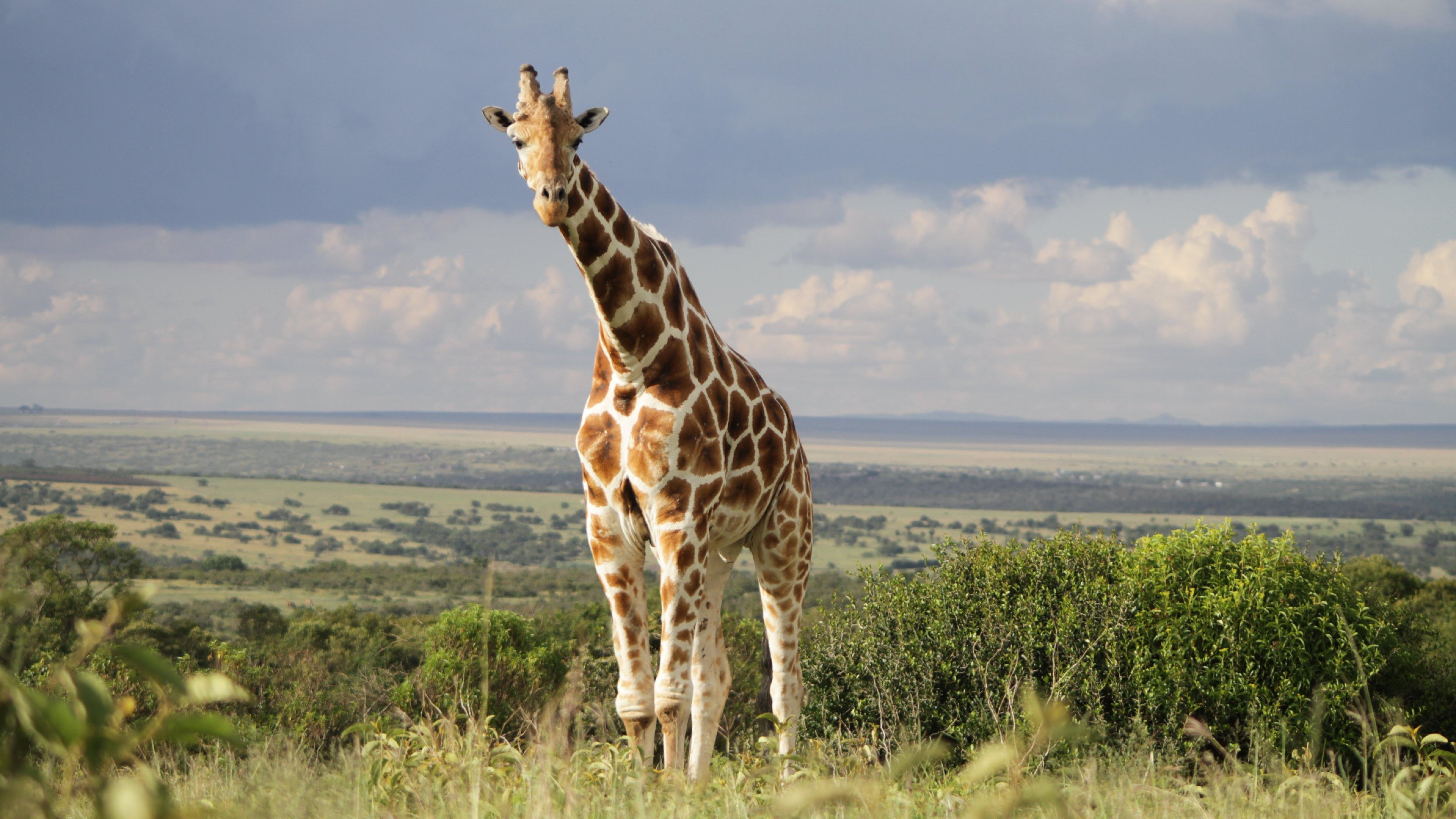Giraffe Ultra Hd Animal Wallpapers 4k