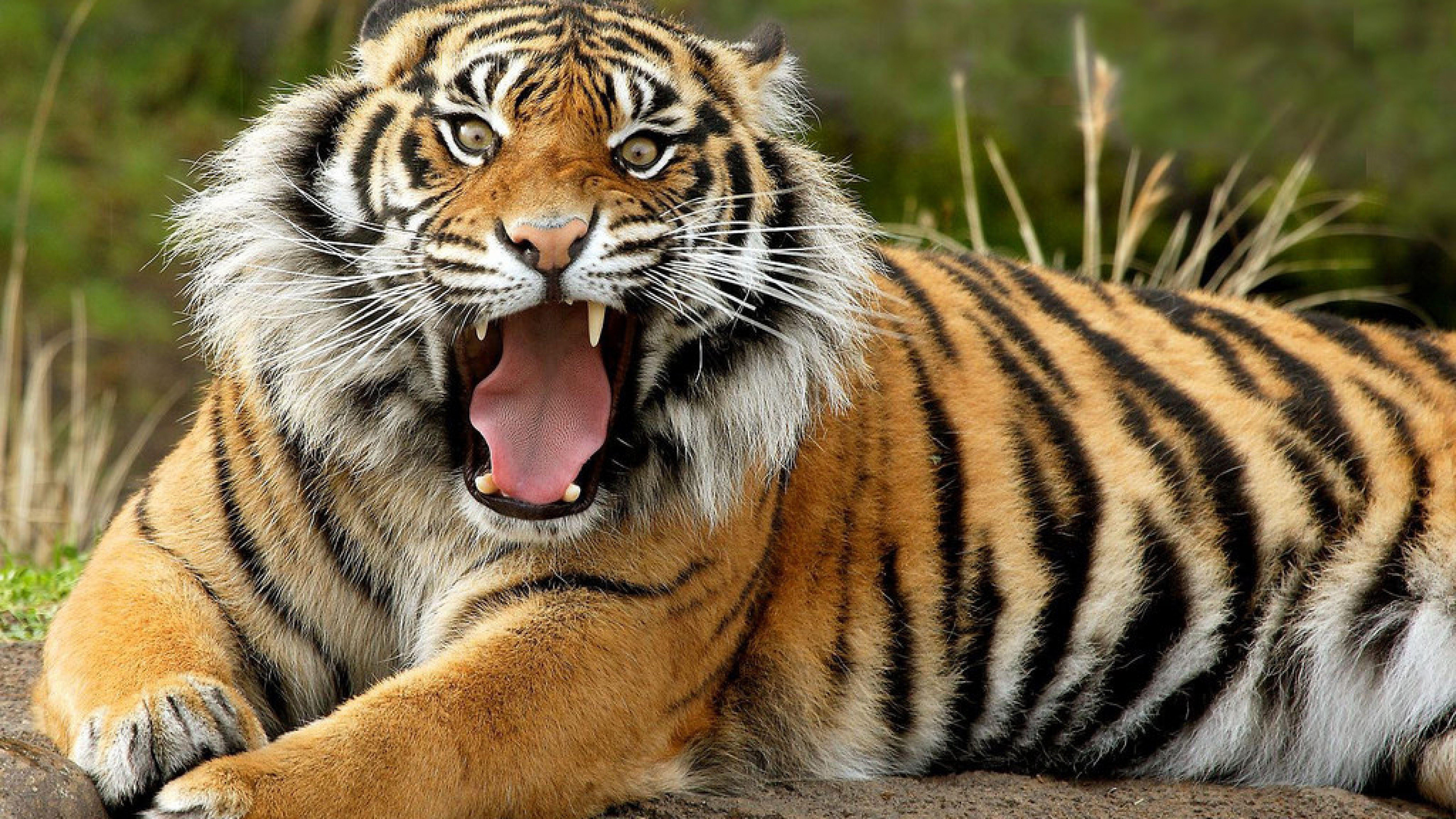 Free Hd Cool Tiger Animals Wallpapers Download