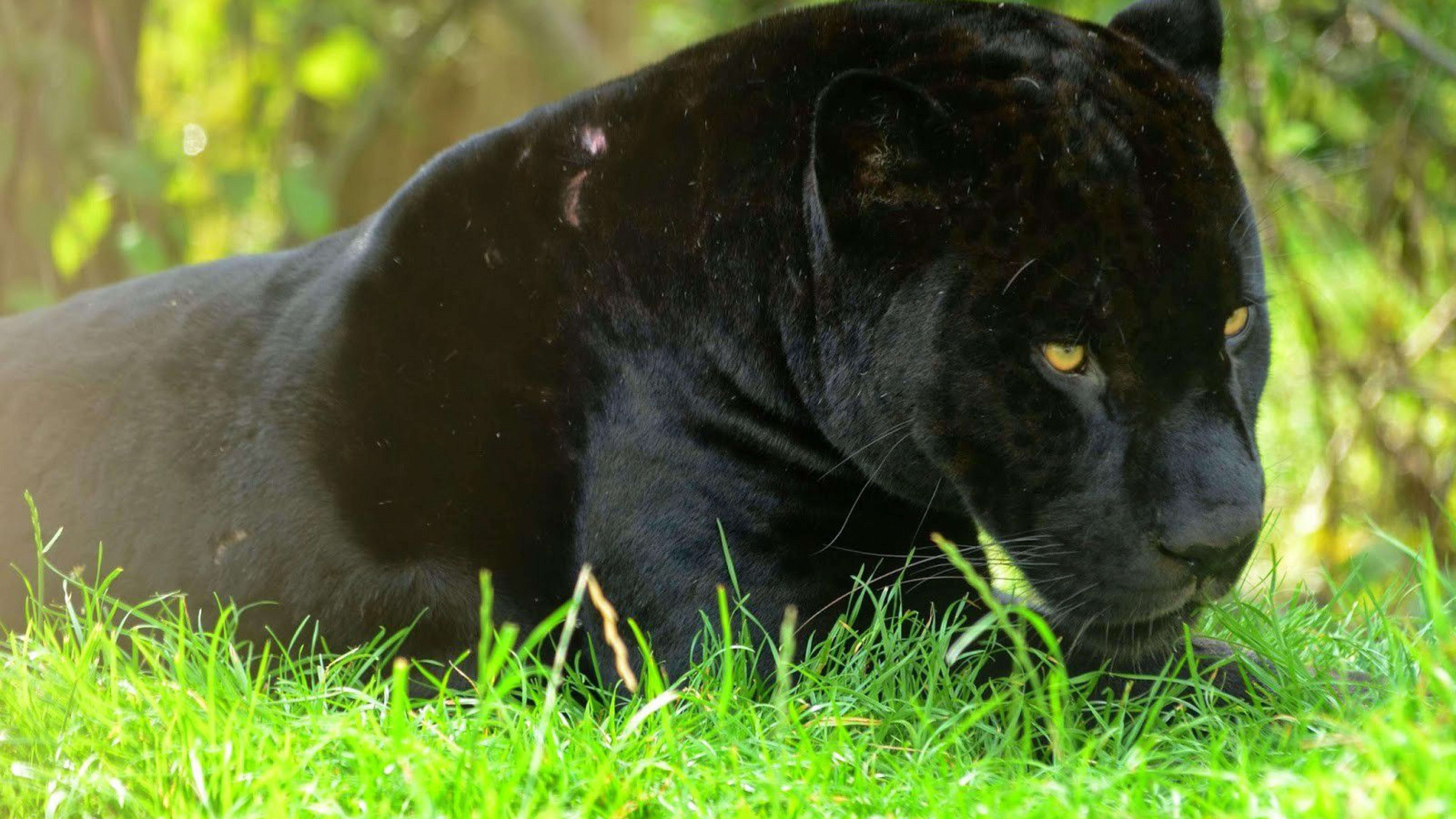 Ultra Hd Panther Animal Wallpapers 4k