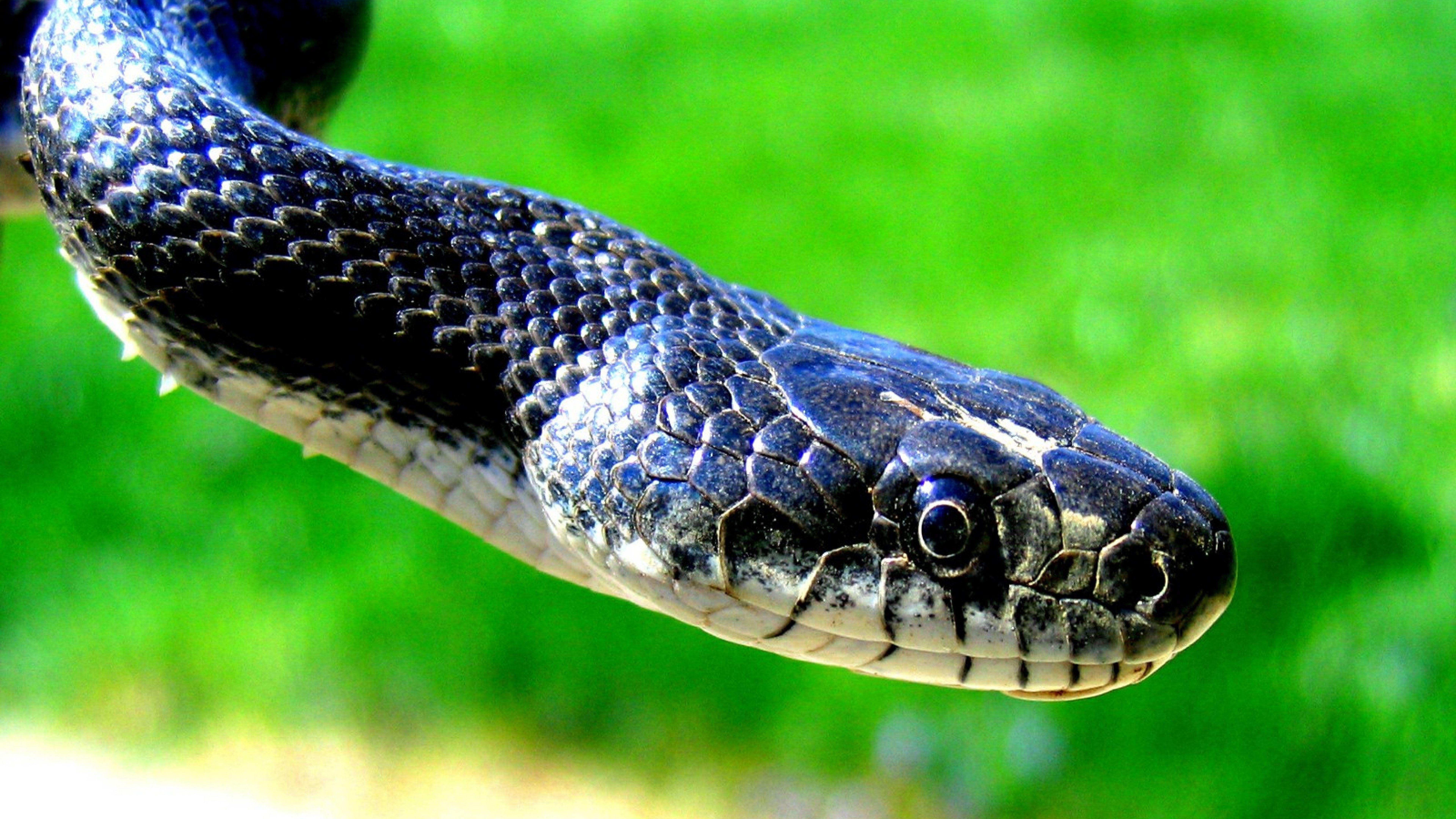 Free Black Mamba Snakes Hd Wallpapers Best Desktop Backgrounds Image