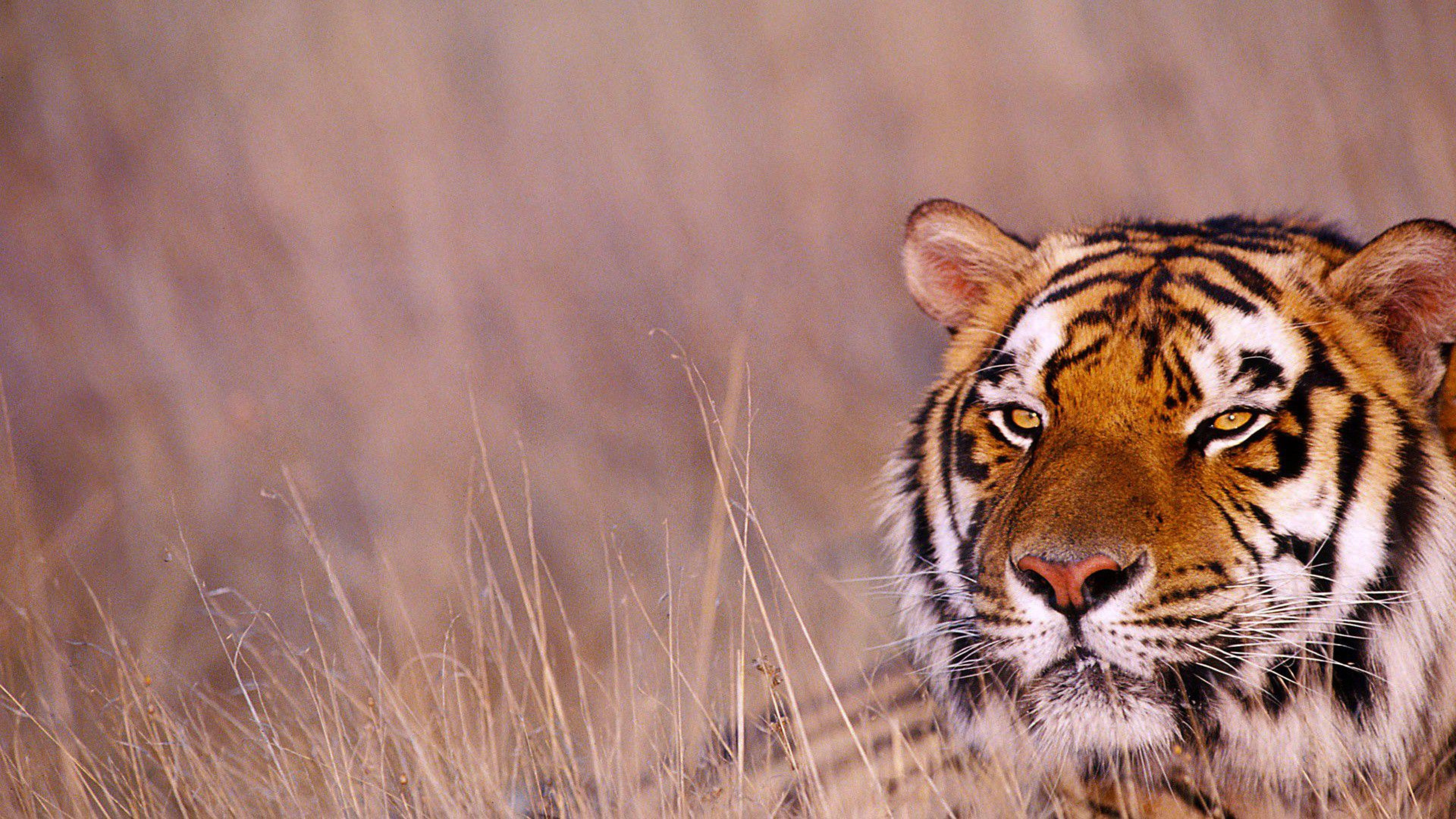 Tiger Animals Wallpapers