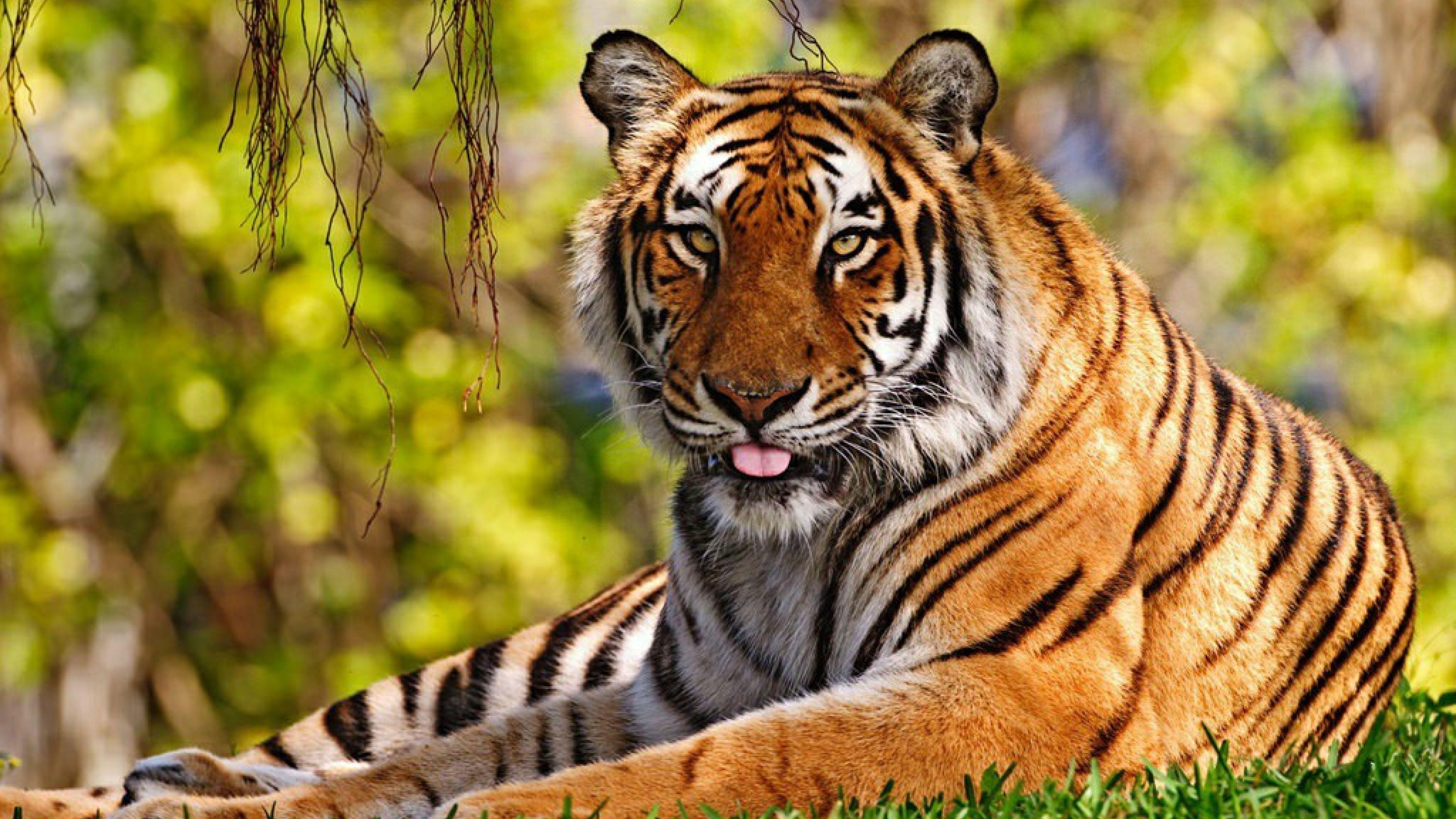 Free Hd Nature Tiger Animals Wallpapers Download Mac