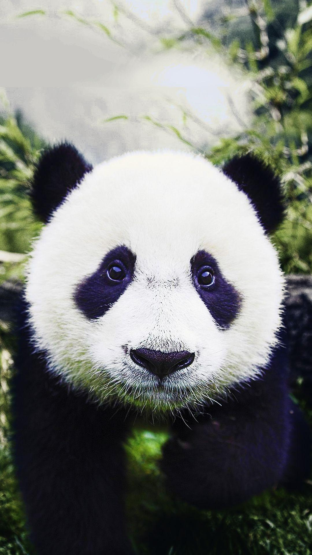 Baby Panda HD Wallpapers - Wallpaper Cave