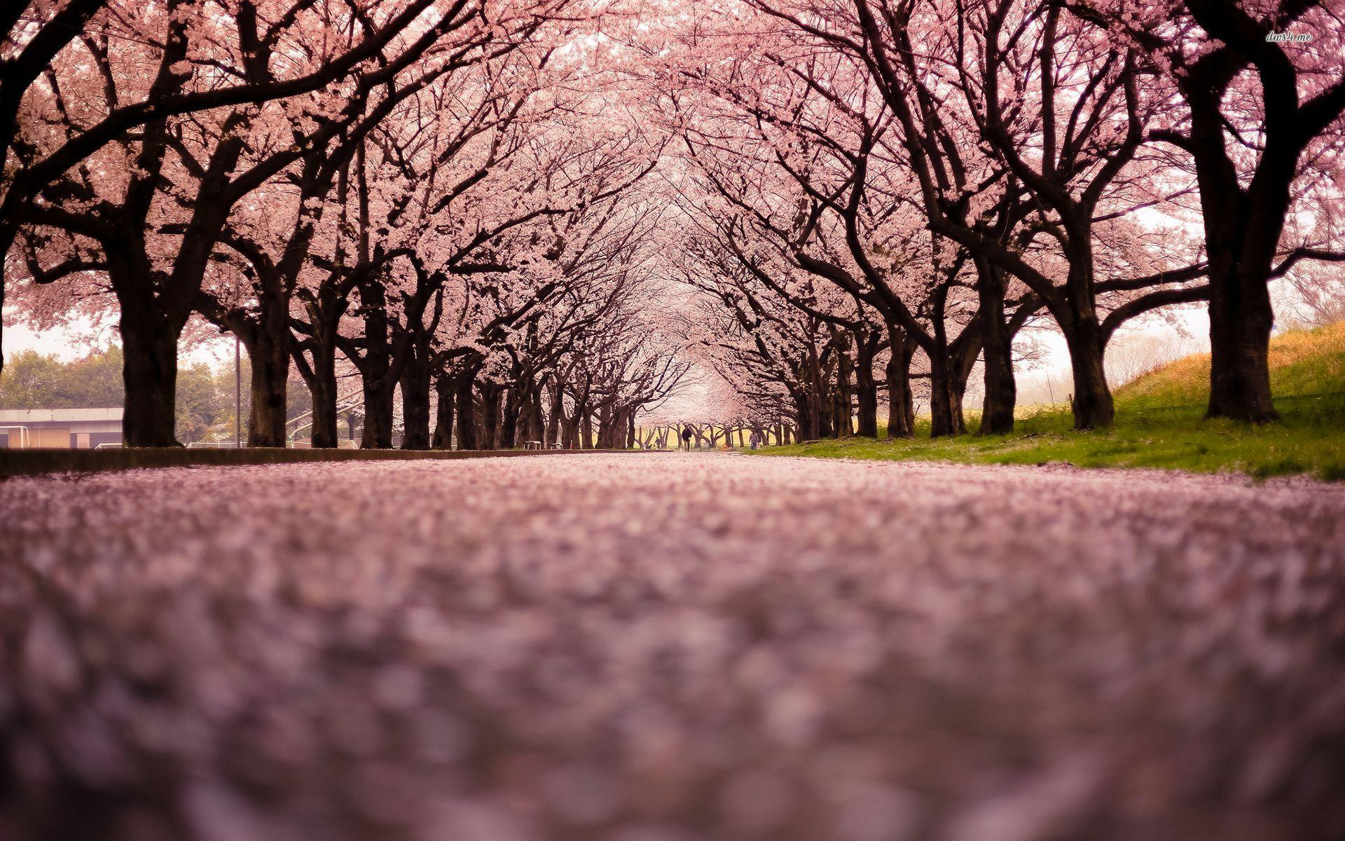 Cherry Blossom Tree 16 HD Wallpapers