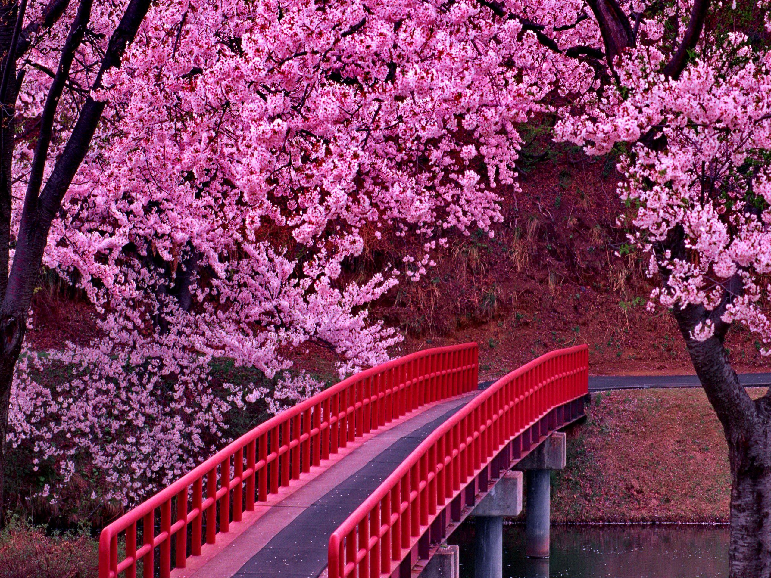 Pink Sakura Tree Wallpapers Wallpaper Cave