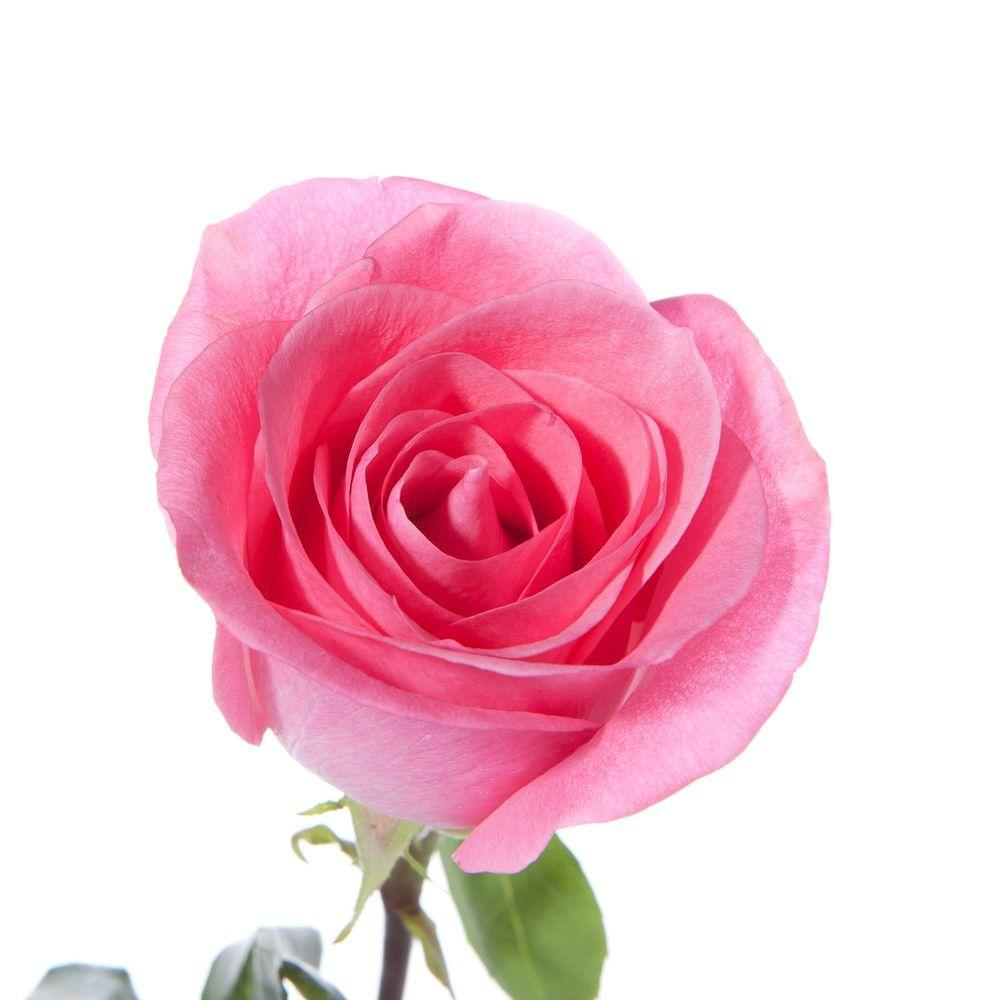 Best Single Pink Rose Stock Photos, Pictures & Royalty ... |Tall Pink Roses Single