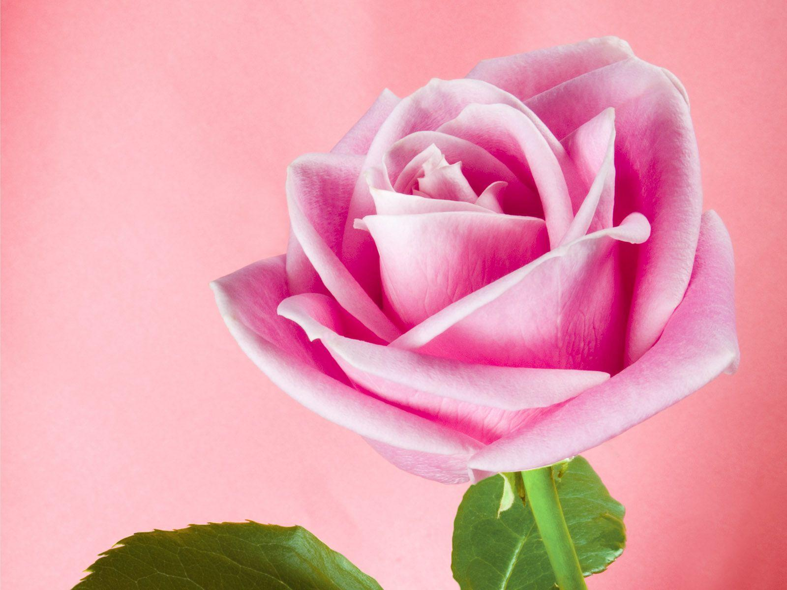Single Pink Rose Wallpapers Wallpaper Cave