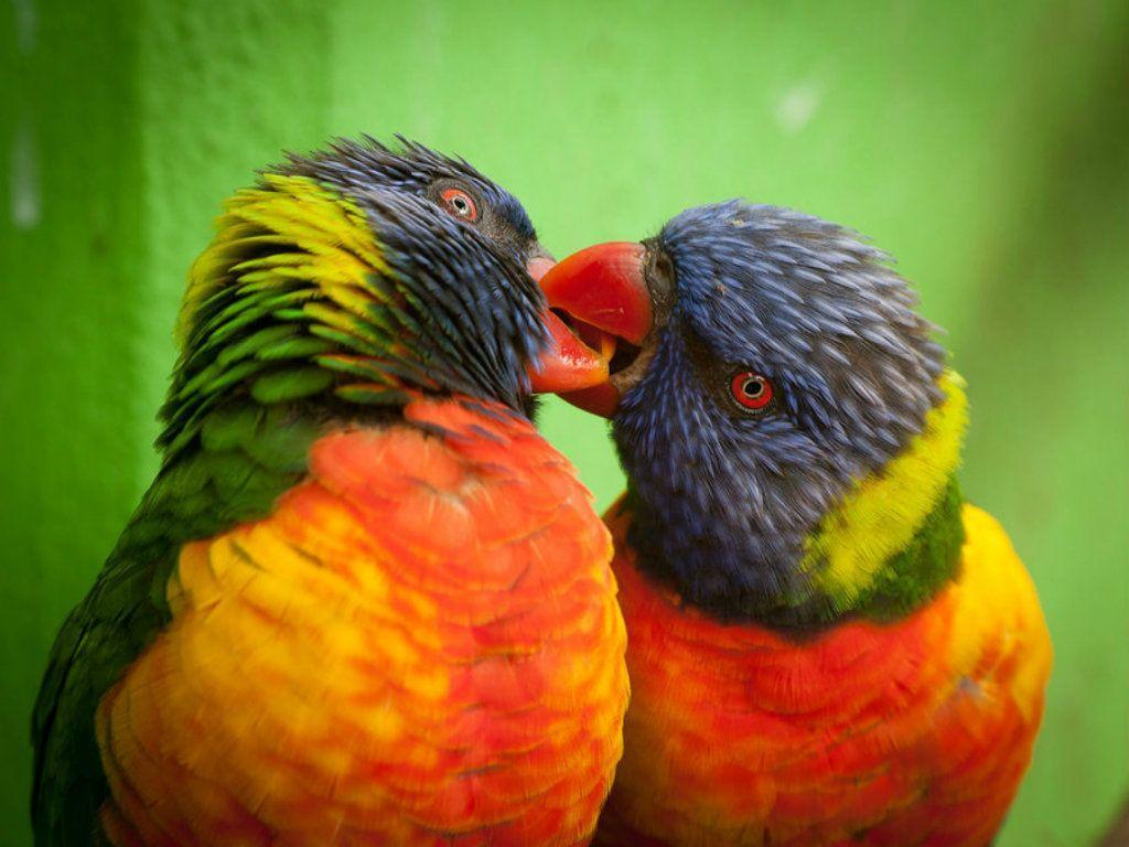 LOVE BIRDS HD WALLPAPERS