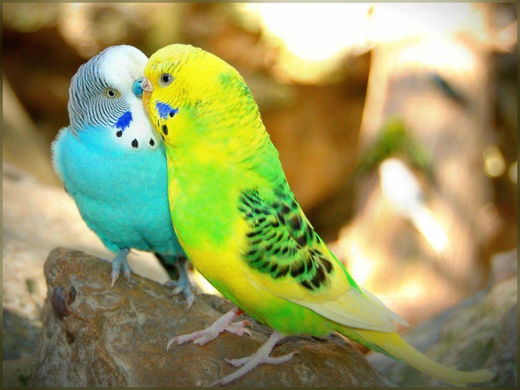 Love Birds Wallpapers Com