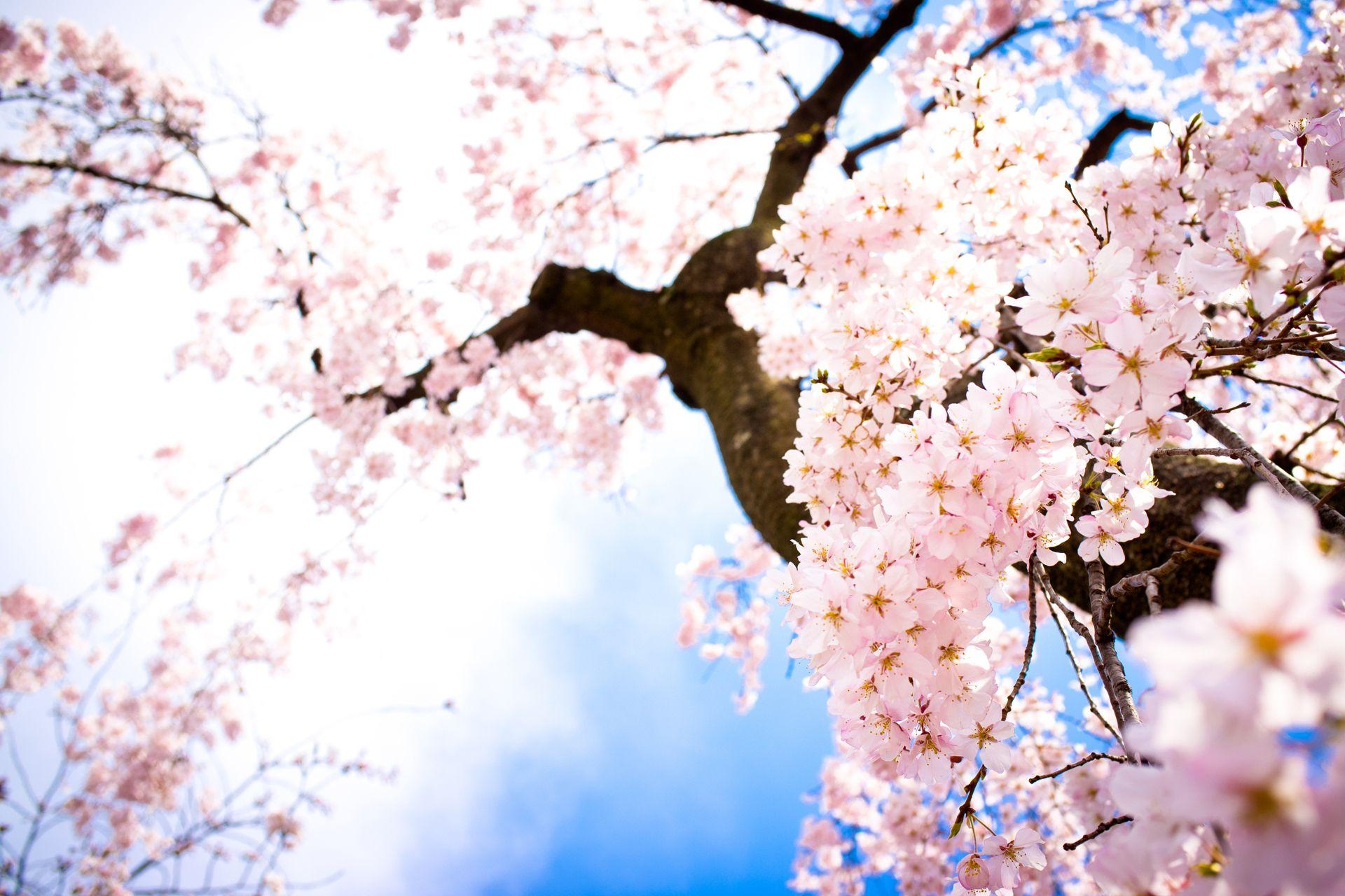 Cherry Blossom image Beautiful Cherry Blossom ♡ HD wallpapers and