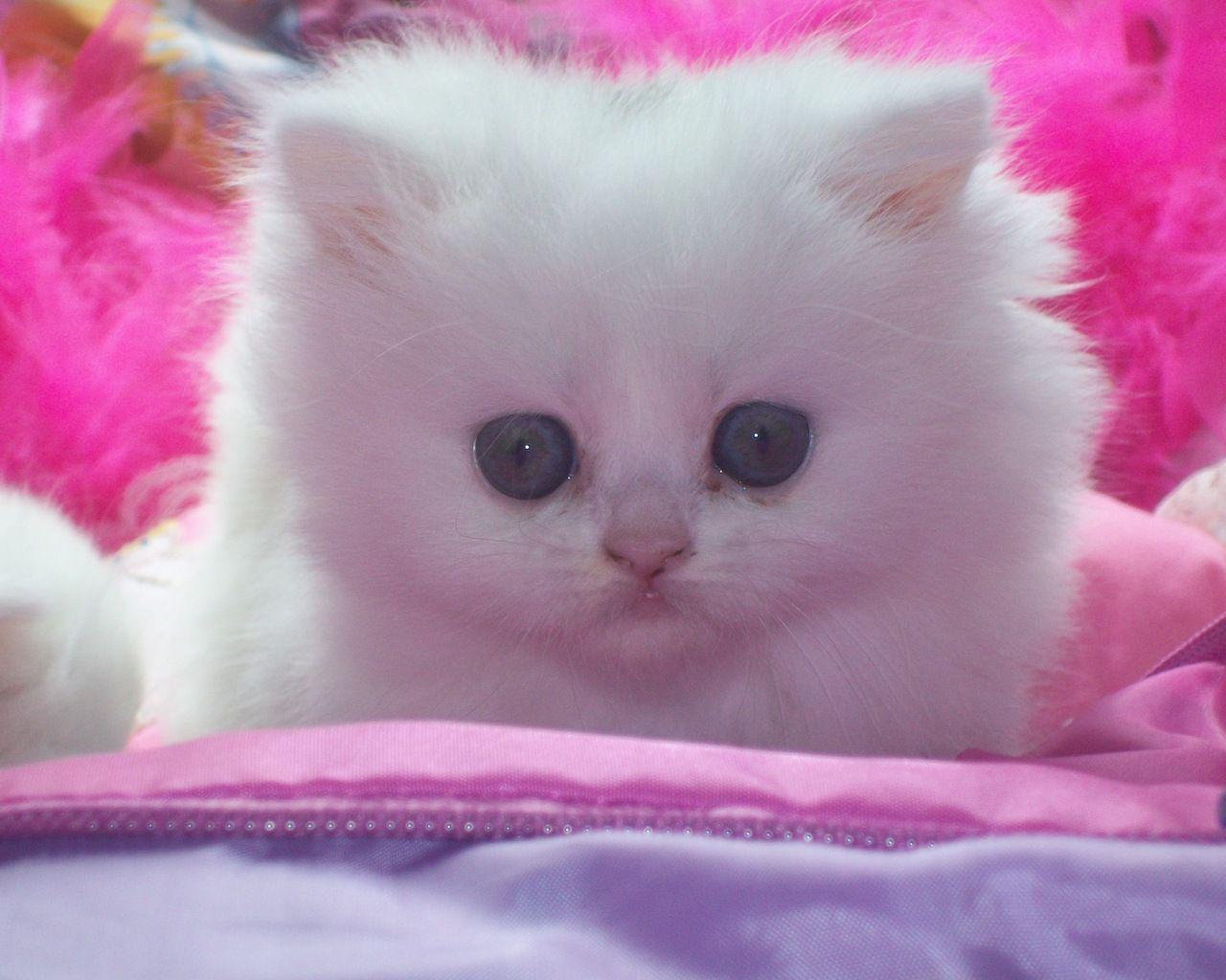White Baby Cat Wallpapers Wallpaper Cave