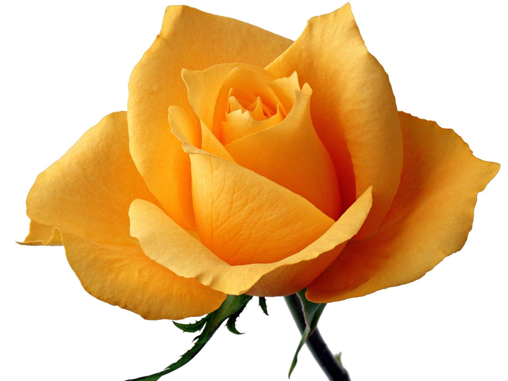 Single Yellow Rose Wallpapers Wallpaper Cave