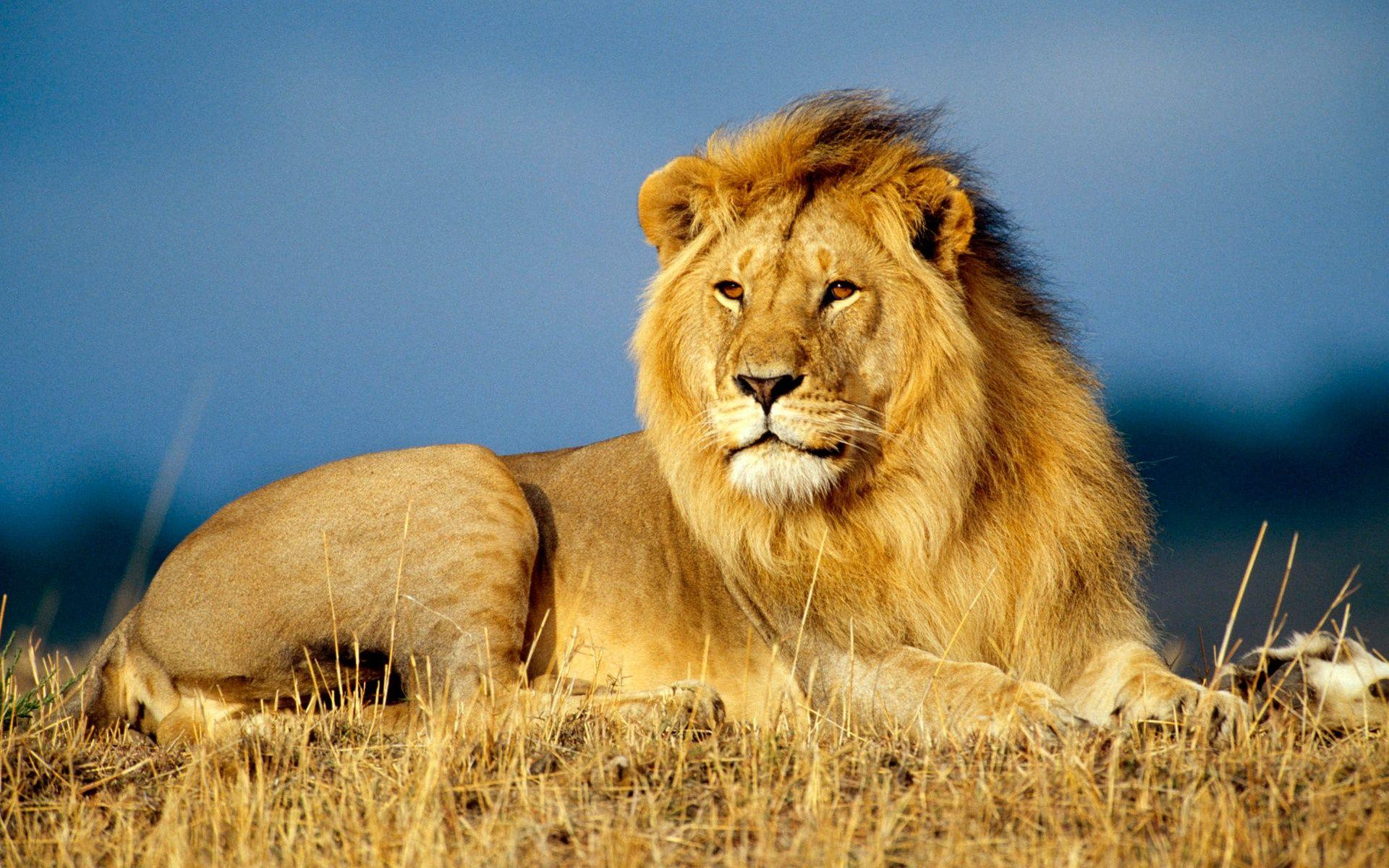 Male African Lion HD Backgrounds Wallpapers Wallpapers