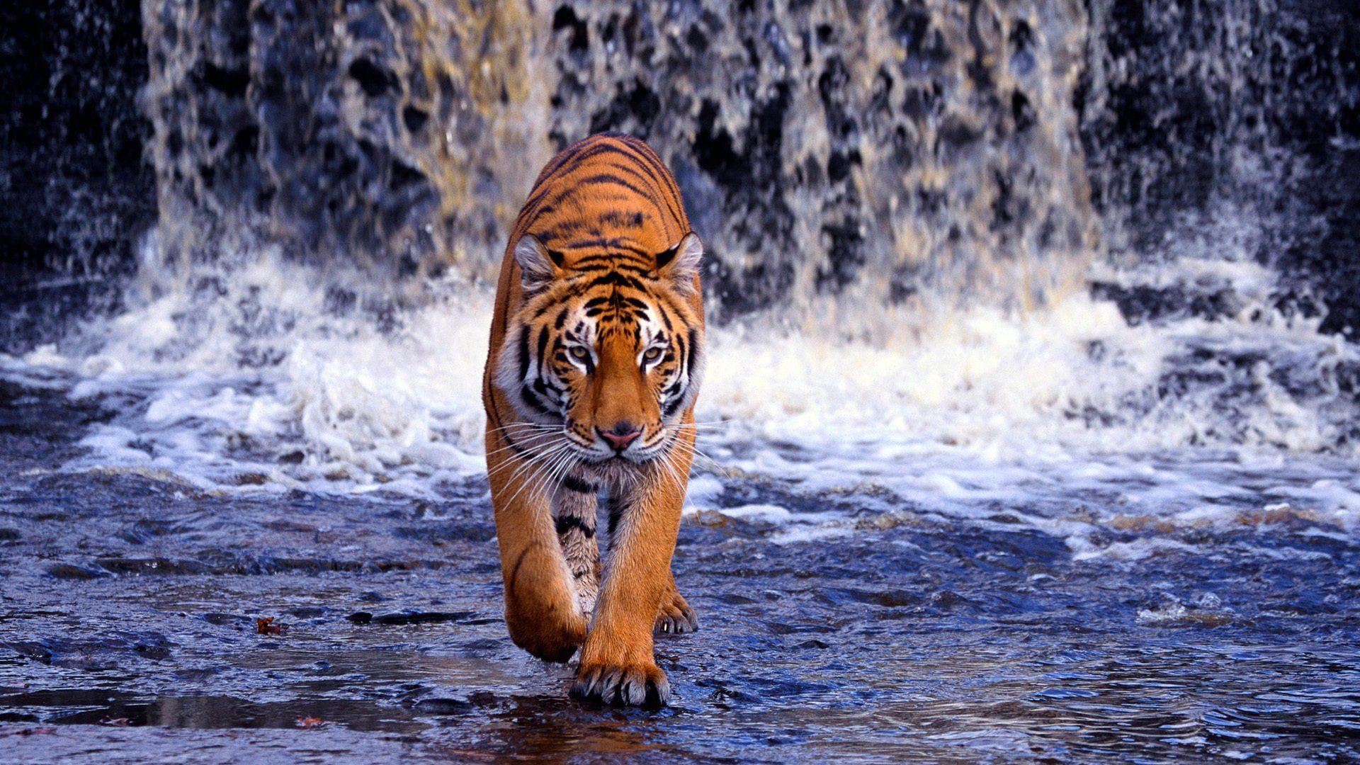 Wallpapers Hd Tiger Wallpaper Cave