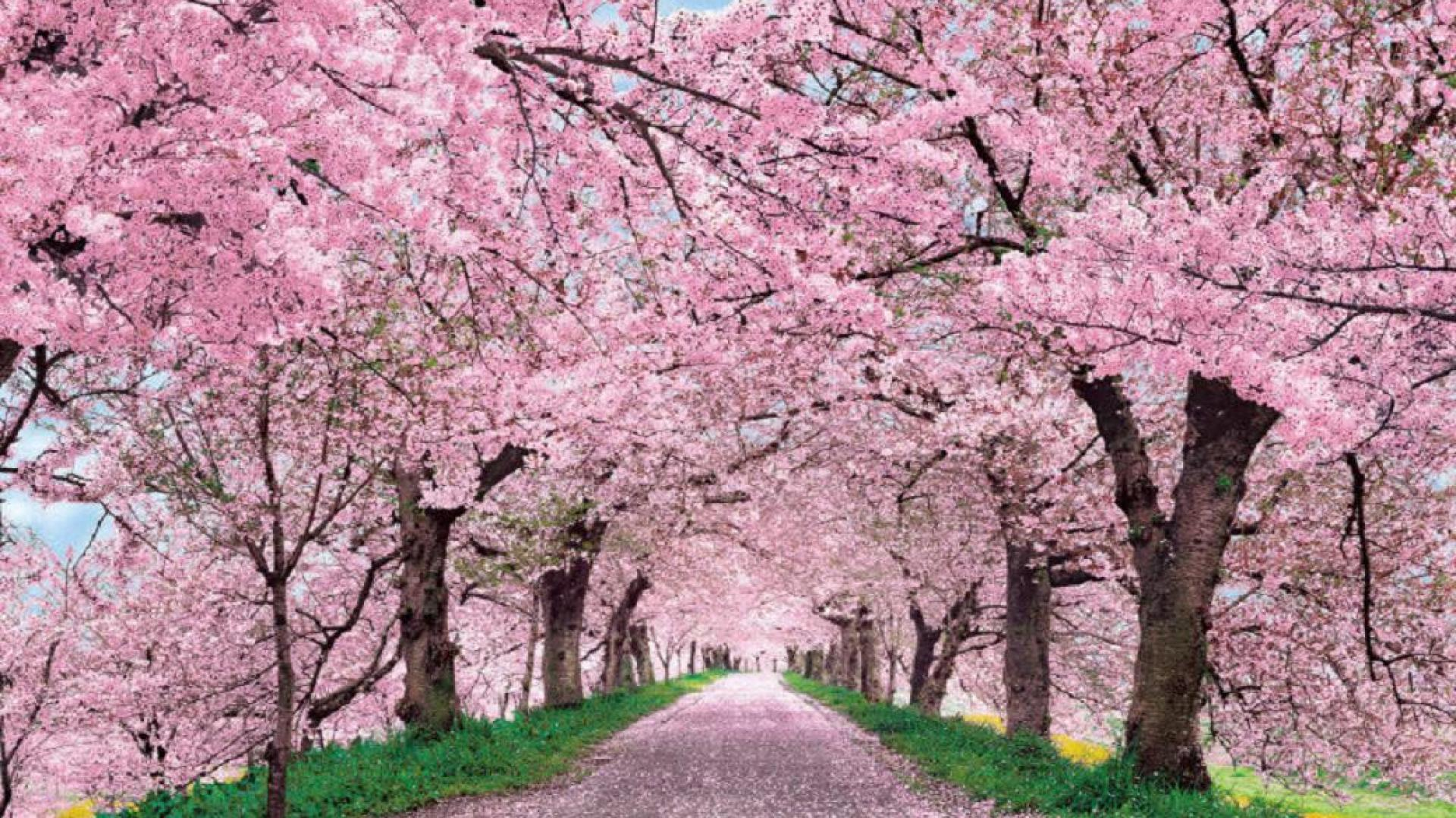 Cherry Blossom Backgrounds Wallpapers 06771