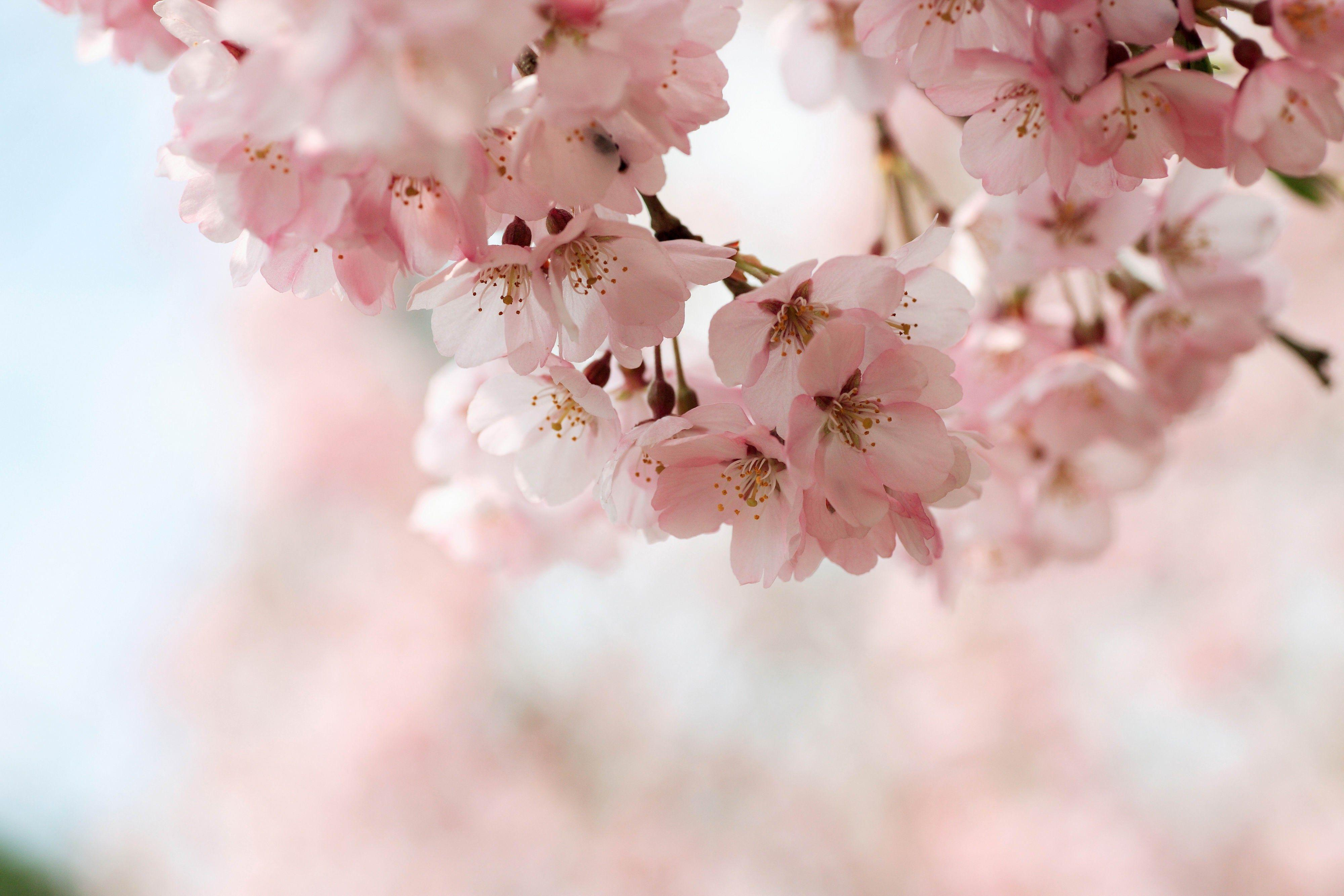 Cherry Blossom Wallpapers HD - Wallpaper Cave