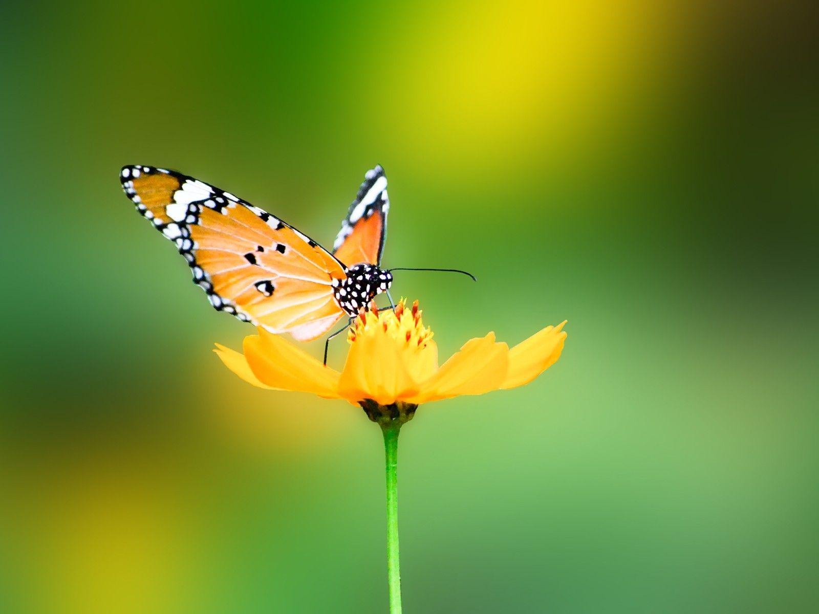 Butterfly Nature Wallpapers Hd Wallpaper Cave