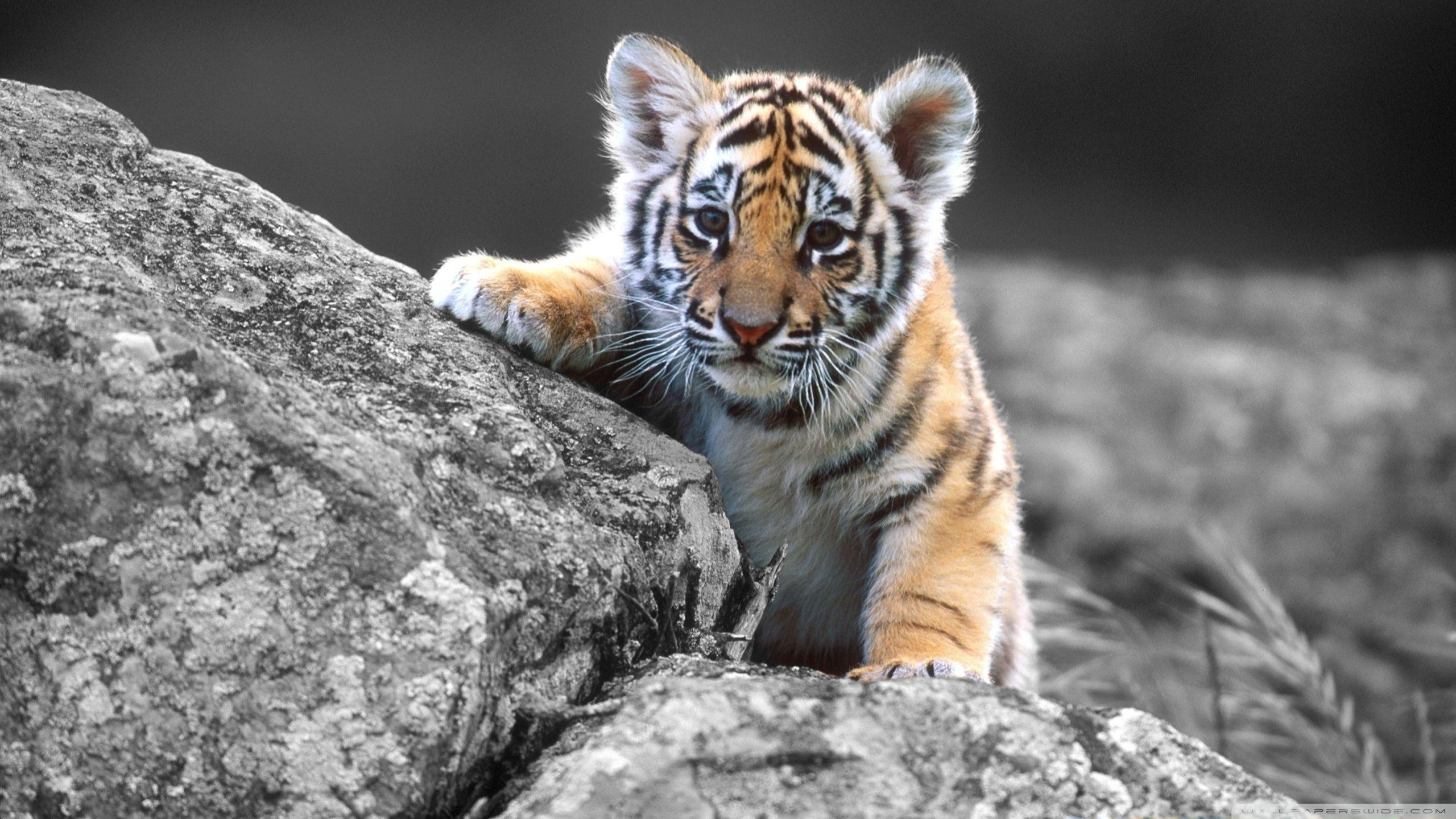 Cute Baby Tigers Wallpapers Wallpaper Cave