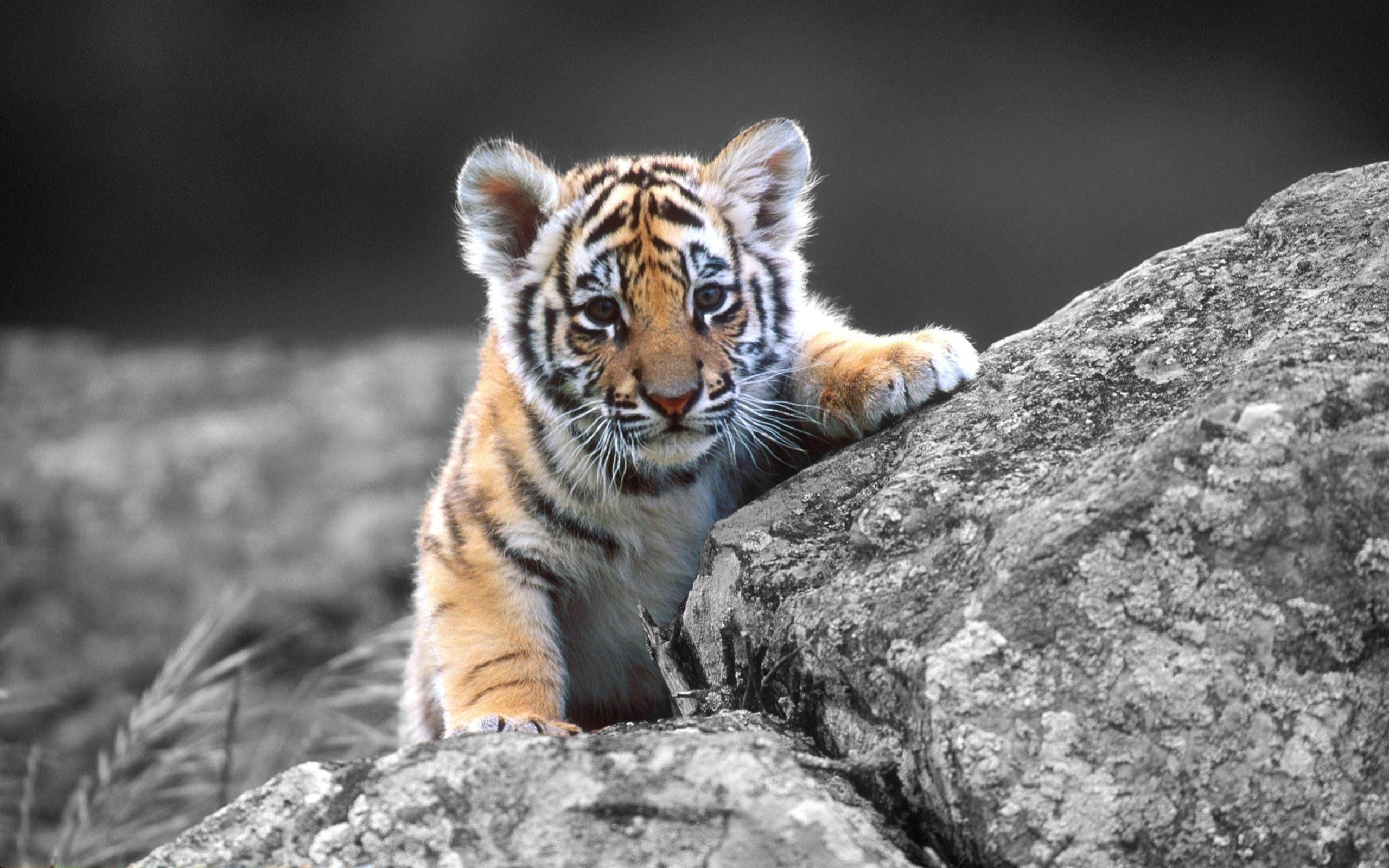 Cute Baby Tigers Wallpapers - Wallpaper Cave