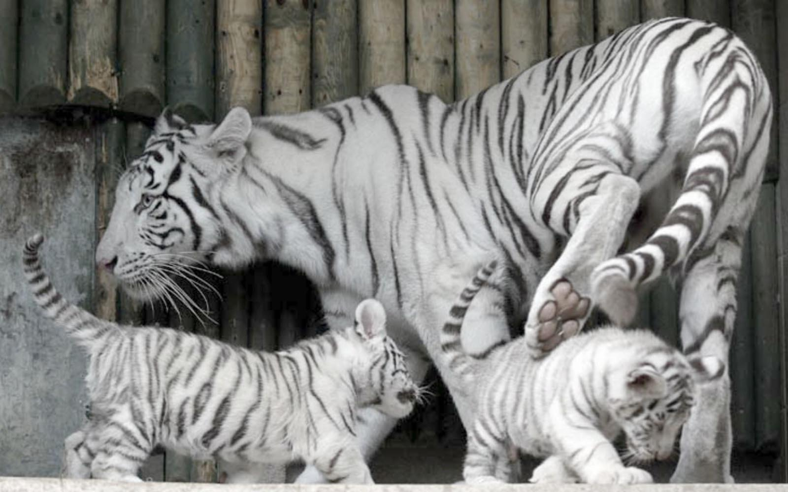 Cute Baby Tiger Wallpapers Wallpaper Cave