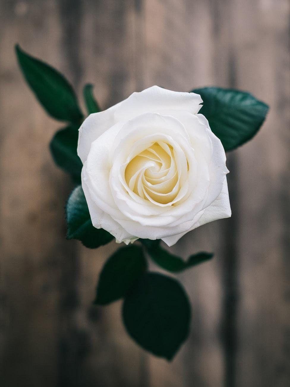 Beautiful white rose wallpapers wallpaper cave beautiful white rose flower wallpaper for phone and hd desktop mightylinksfo