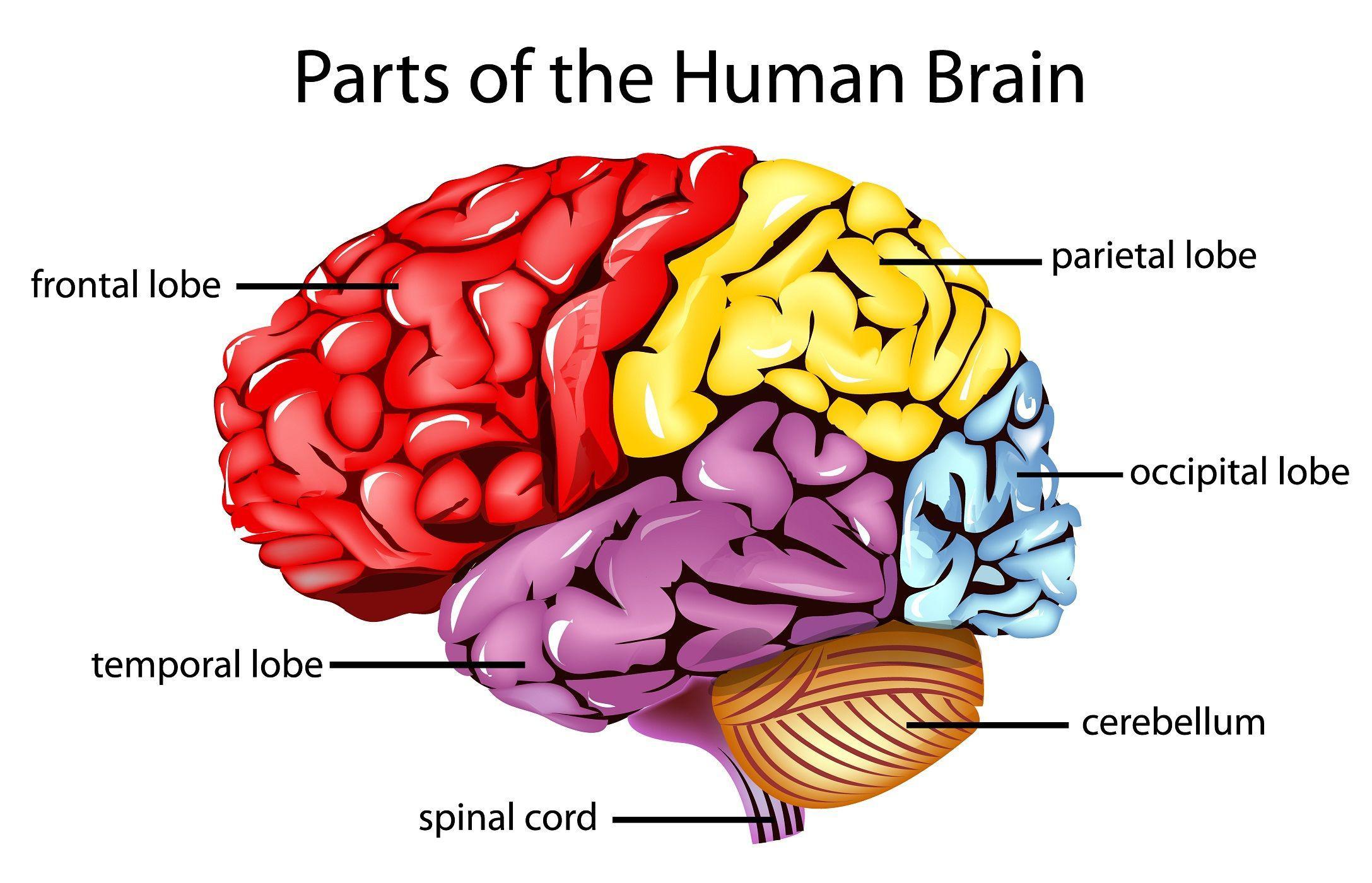 Brain Diagram Wallpaper - Auto Electrical Wiring Diagram •