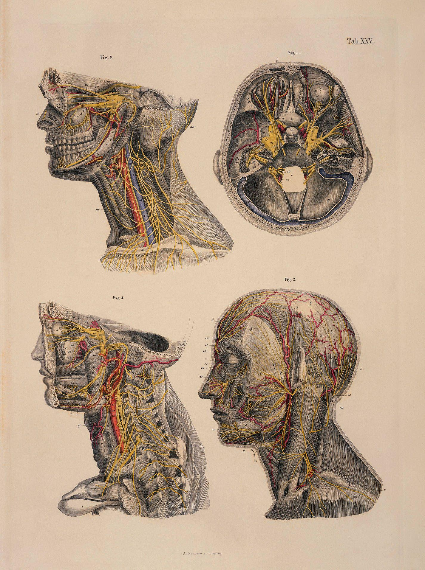 Brain Anatomy Wallpapers Wallpaper Cave