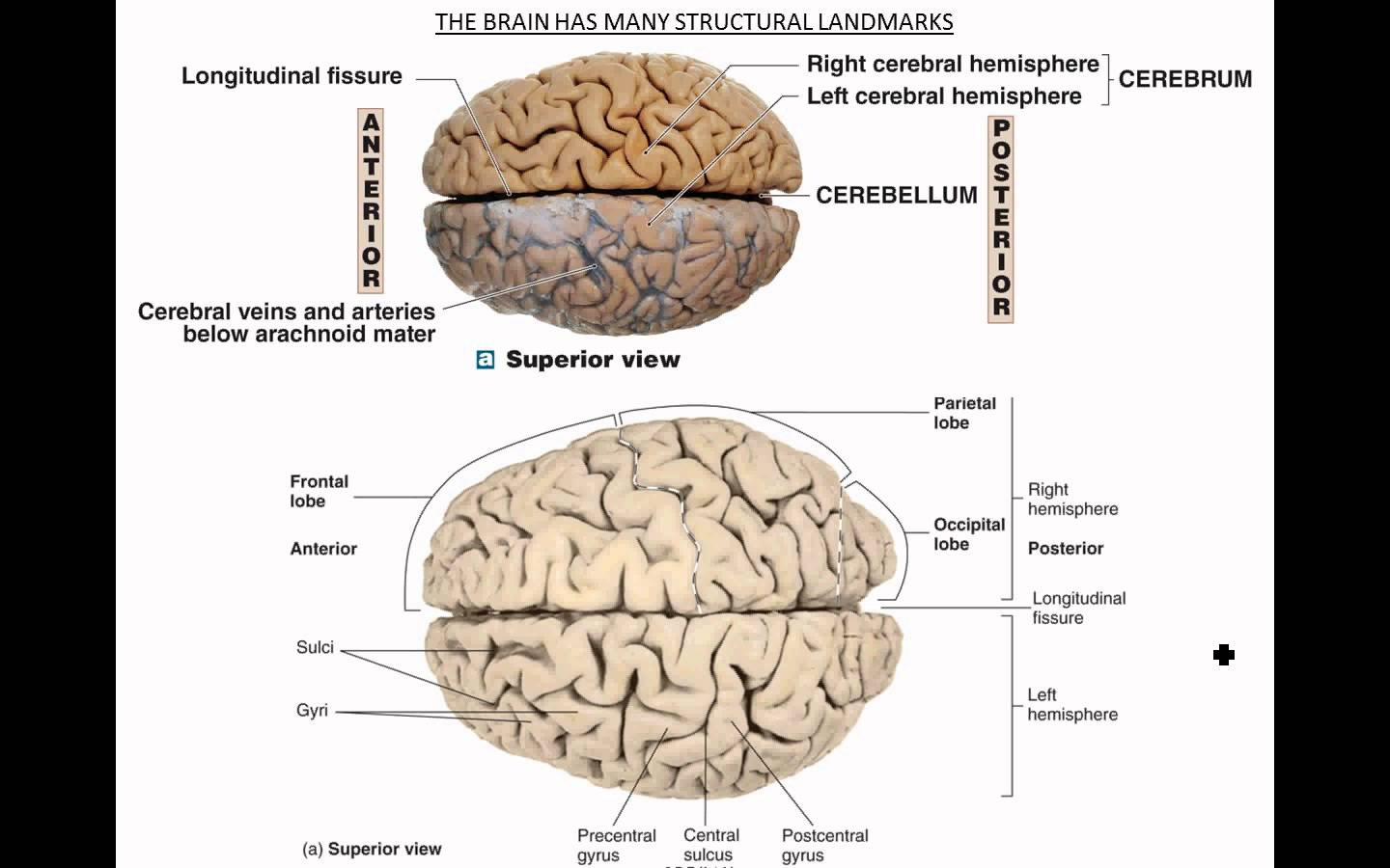 Brain Anatomy Wallpapers - Wallpaper Cave