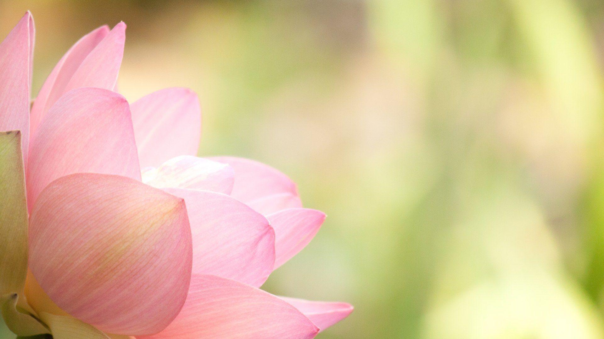Lotus Flowers Wallpapers Wallpaper Cave