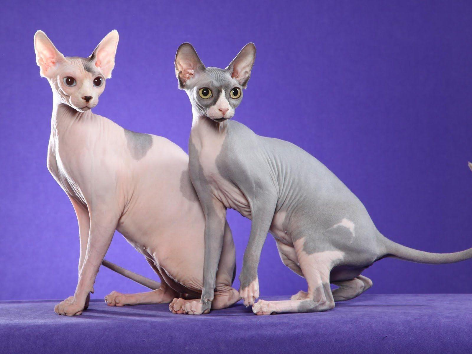 The Sphynx - Hairless Cat Breeds