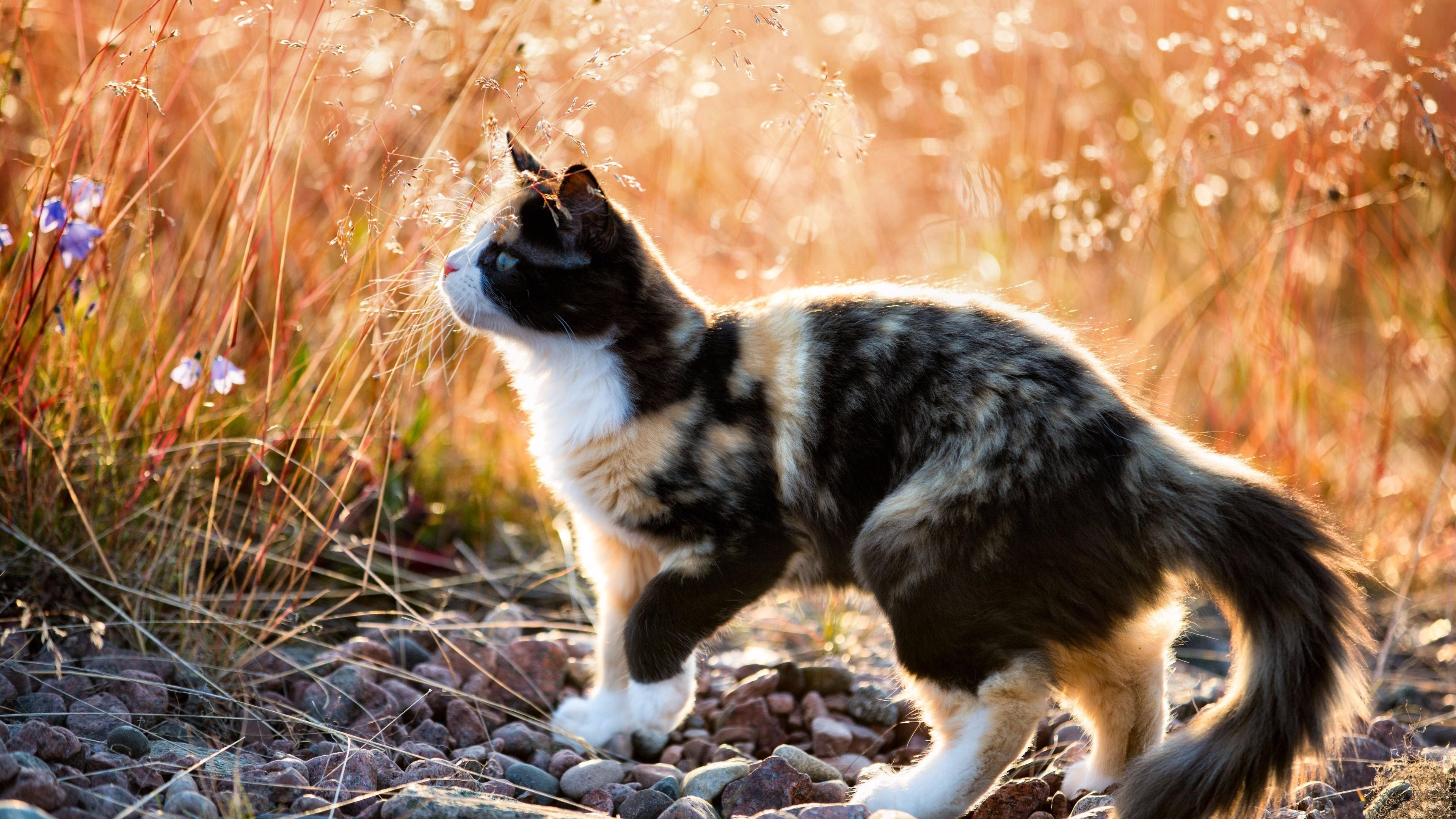 Calico Cat Wallpapers Wallpaper Cave