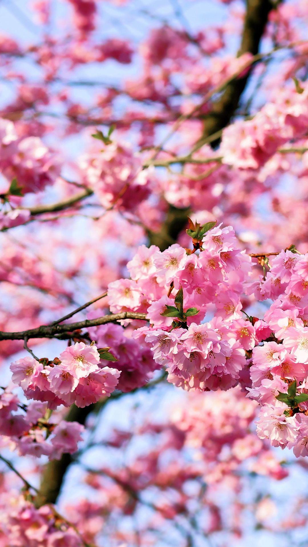 Sakura Wallpapers For Phone Wallpaper Cave