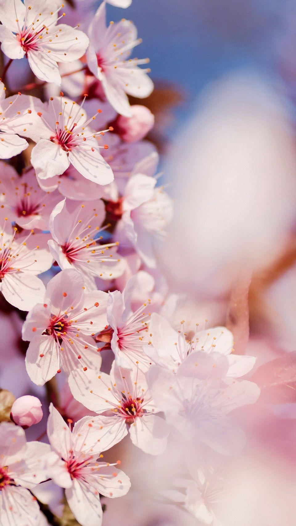 Cherry Blossoms Ps4 Anime Wallpapers Wallpaper Cave
