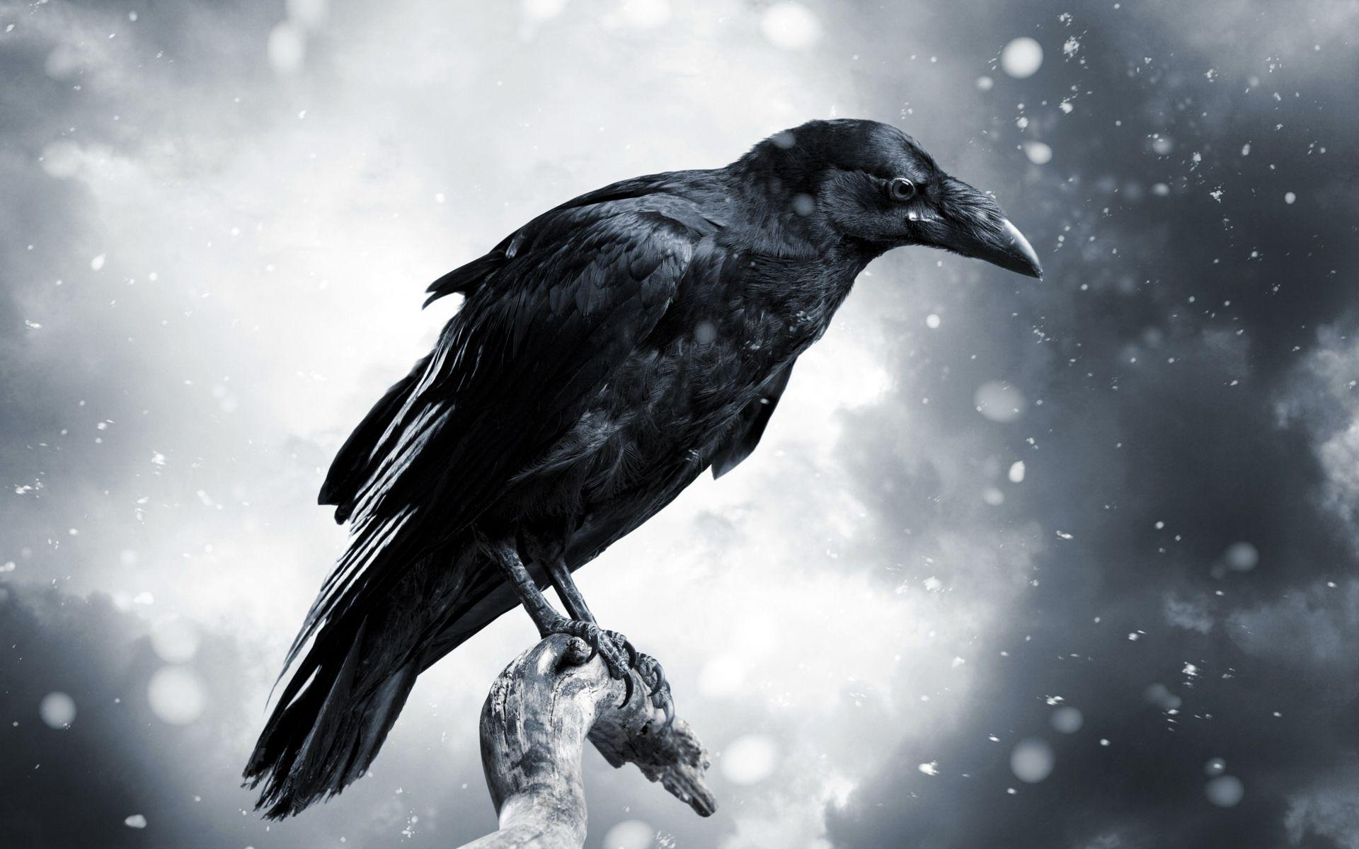Crows Hd Wallpapers Wallpaper Cave