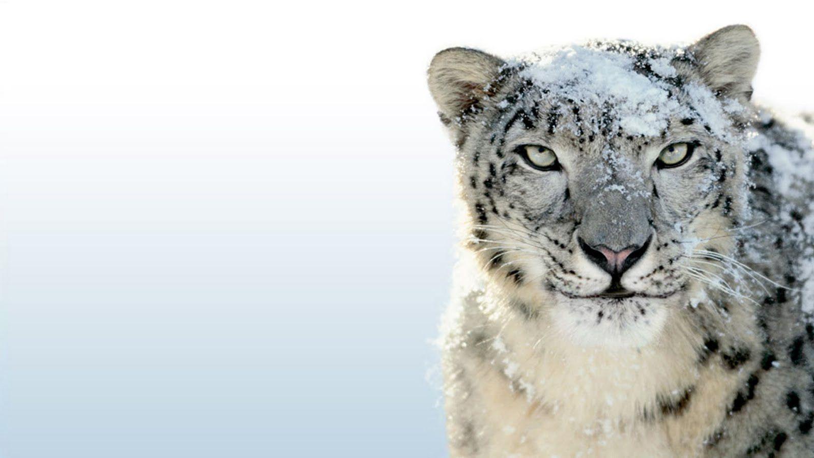 Mac Os Snow Leopard Wallpapers Wallpaper Cave