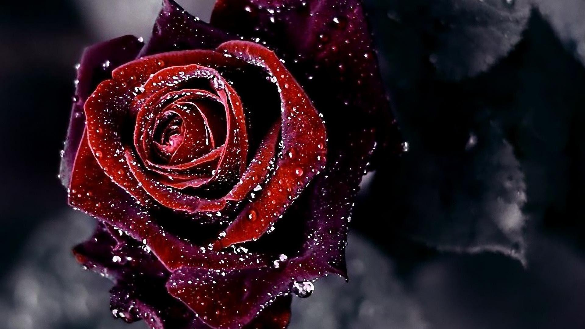 Black And Red Rose Wallpapers Wallpaper Cave