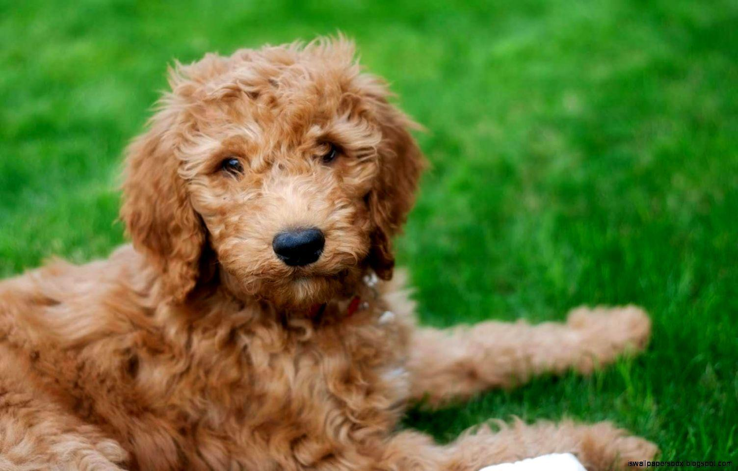 Goldendoodle Wallpapers - Wallpaper Cave
