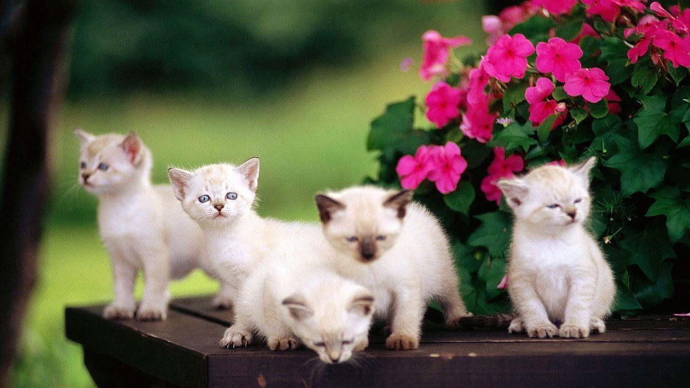 White Cat Wallpapers Desktop Wallpaper Cave