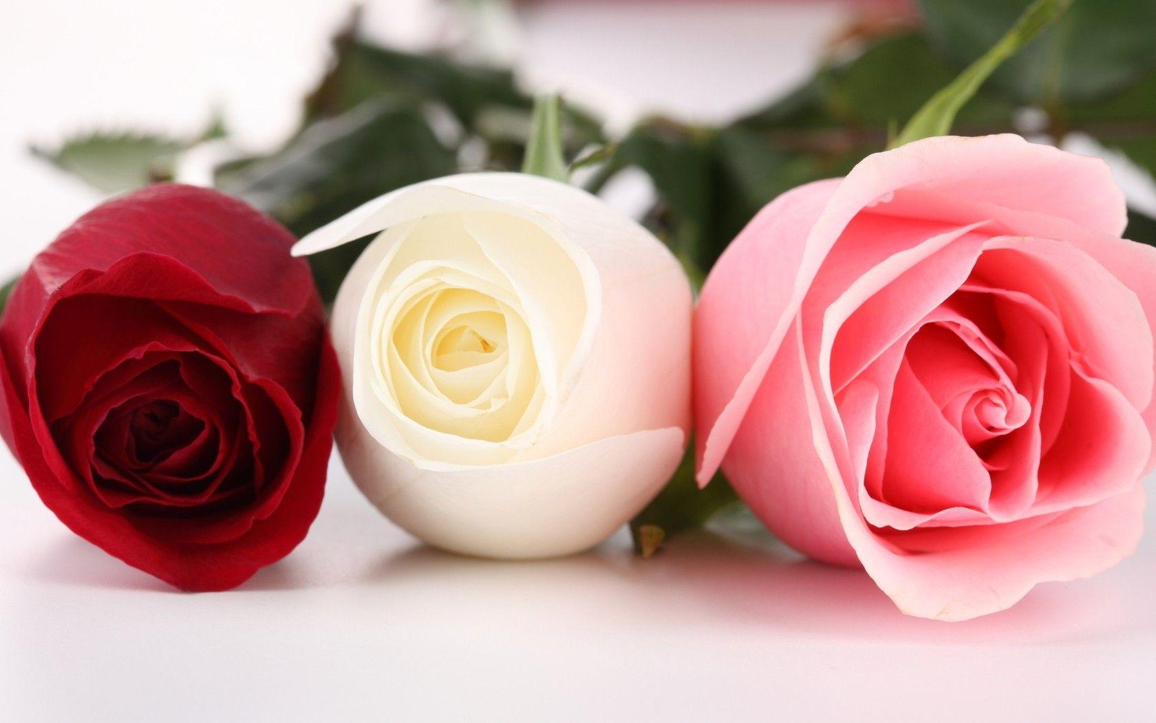 Red And White Roses Wallpapers Desktop Backgrounds