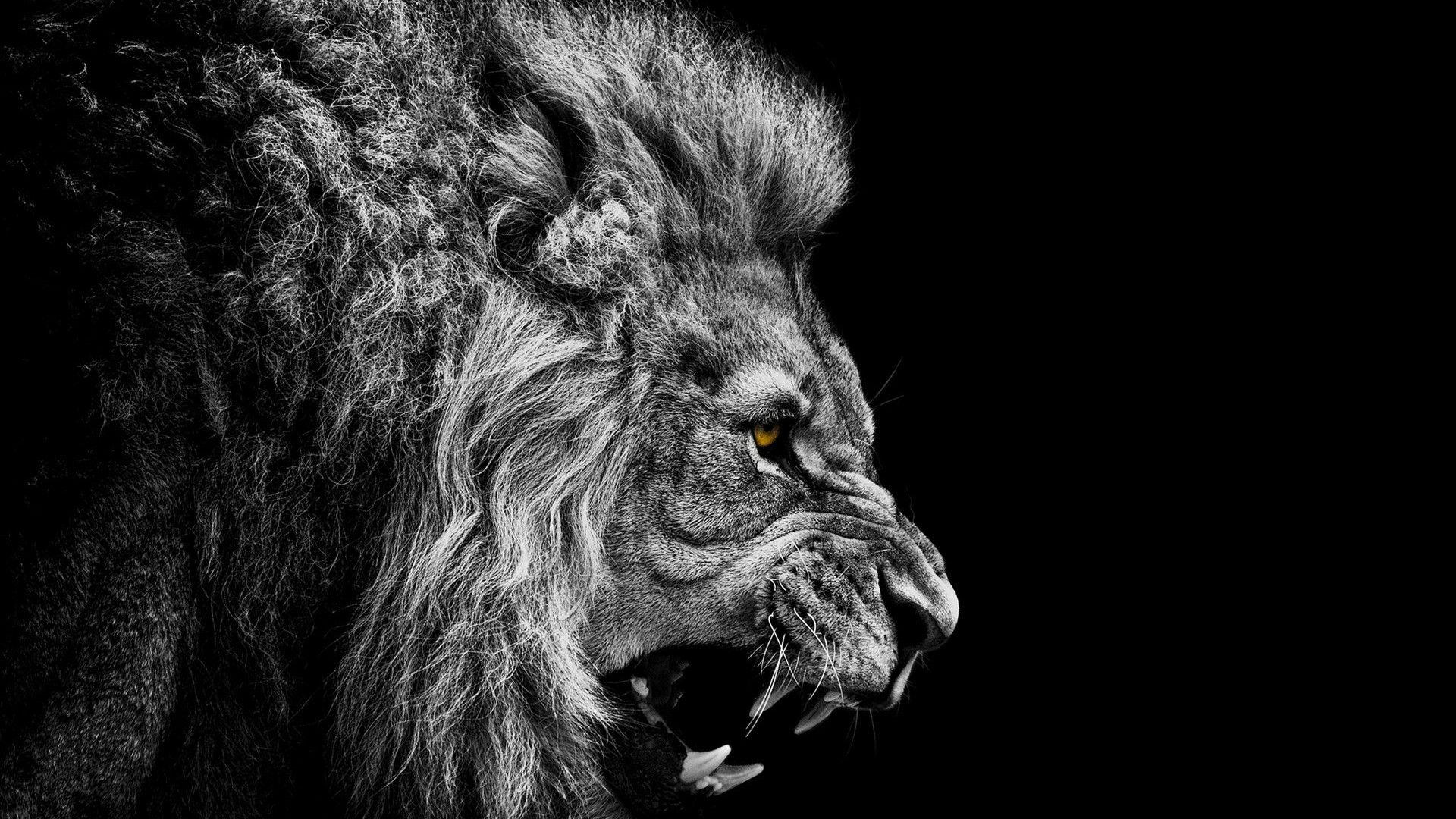 Black And White Lion Wallpapers - Wallpaper Cave