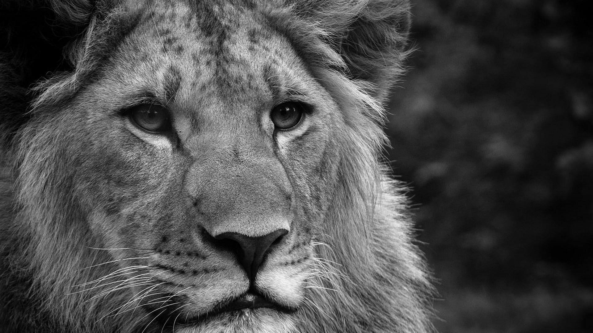 Black And White Lion Wallpapers Wallpaper Cave