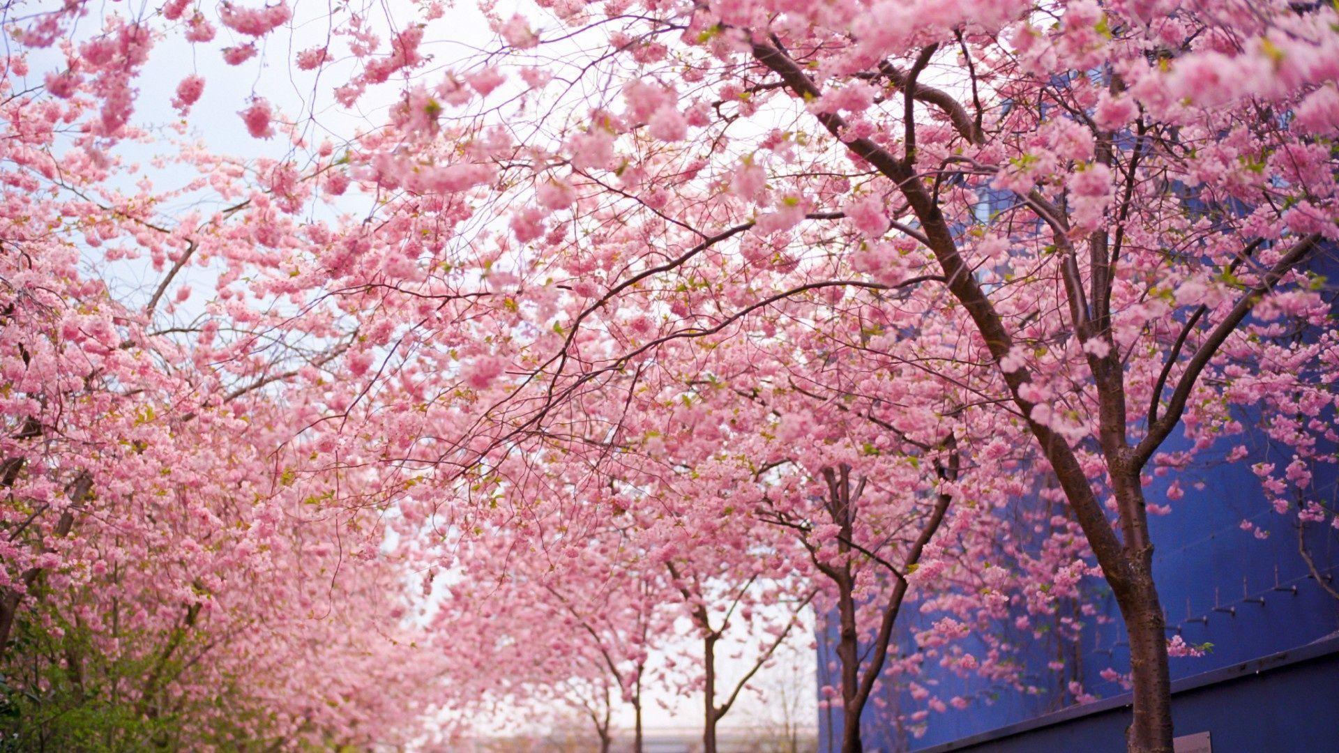 Pink Sakura Tree Wallpapers - Wallpaper Cave
