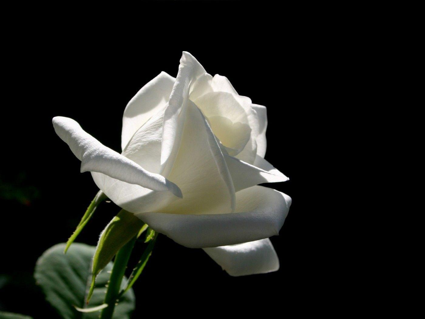 White Roses Black Backgrounds Wallpaper Cave
