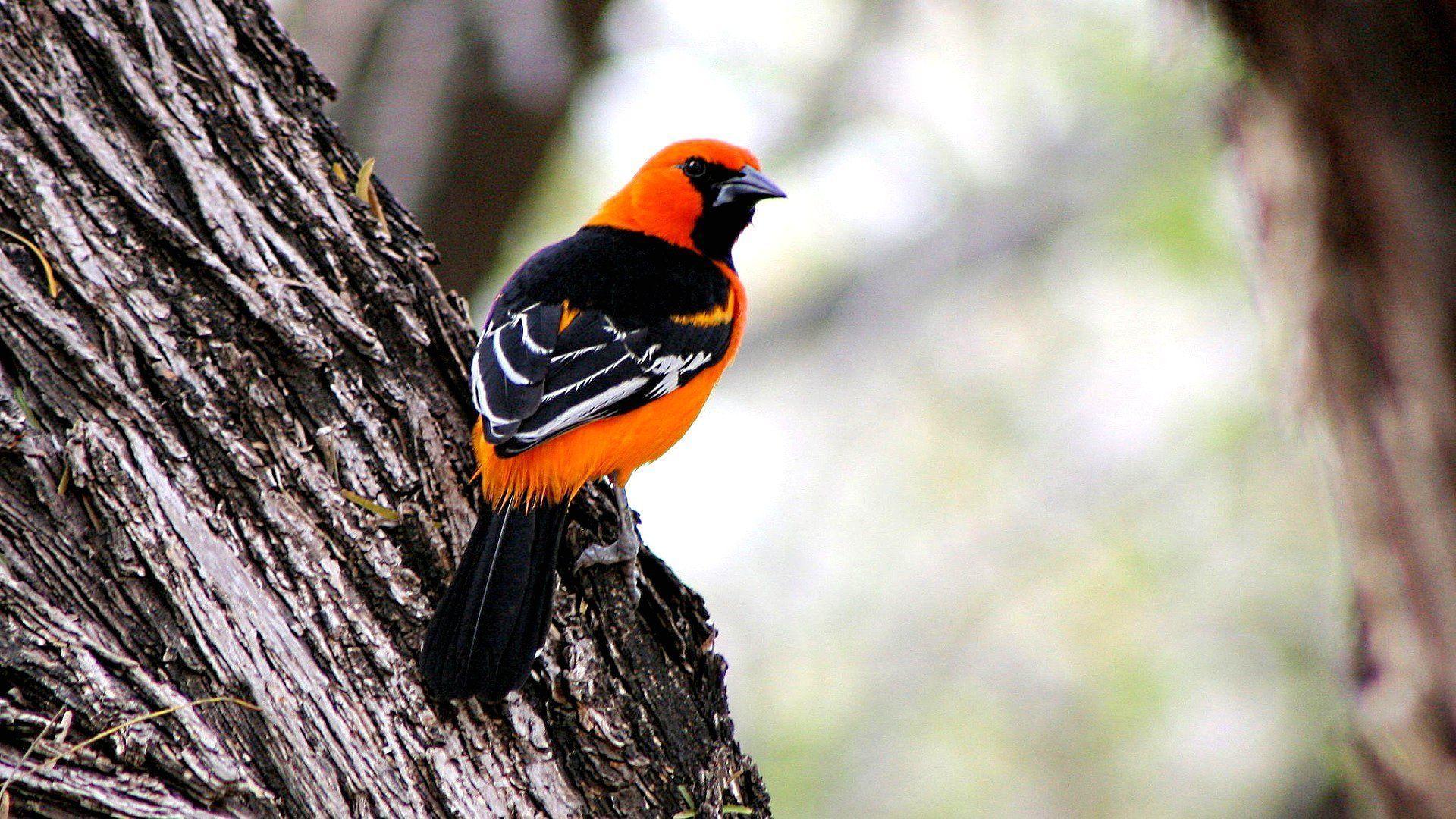 pictures-of-black-and-orange-birds-teen