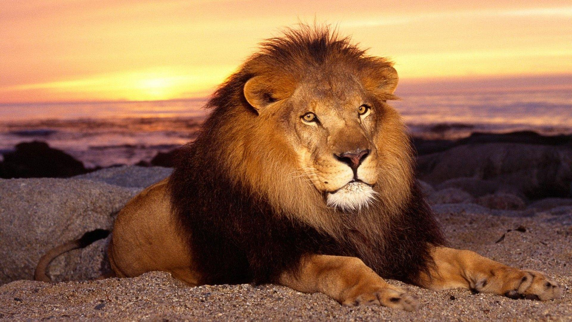 Hd Lion Wallpapers 1080p Wallpaper Cave