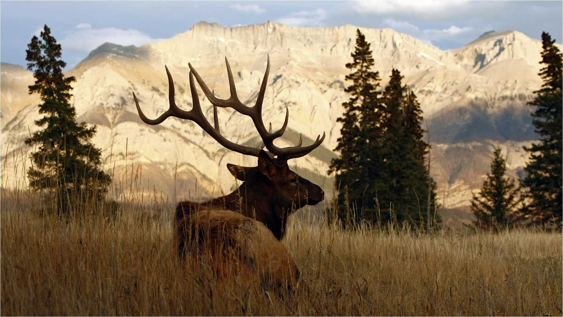 Elk Wallpapers - Wallpaper Cave