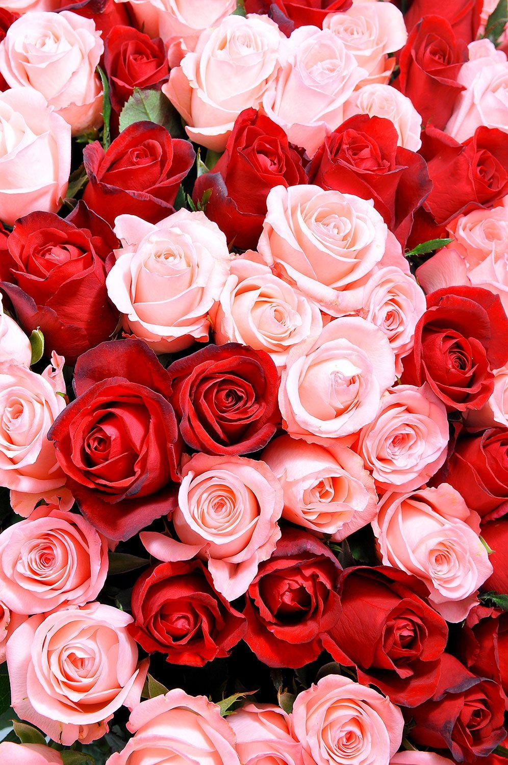Red And Pink Roses Wallpapers Pics - Wallpaper Cave