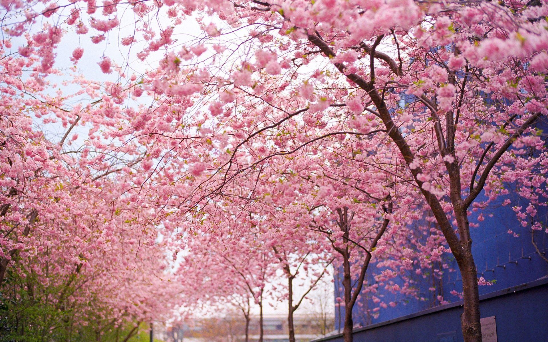 Cherry Blossom Painting Wallpapers Wallpaper Cave