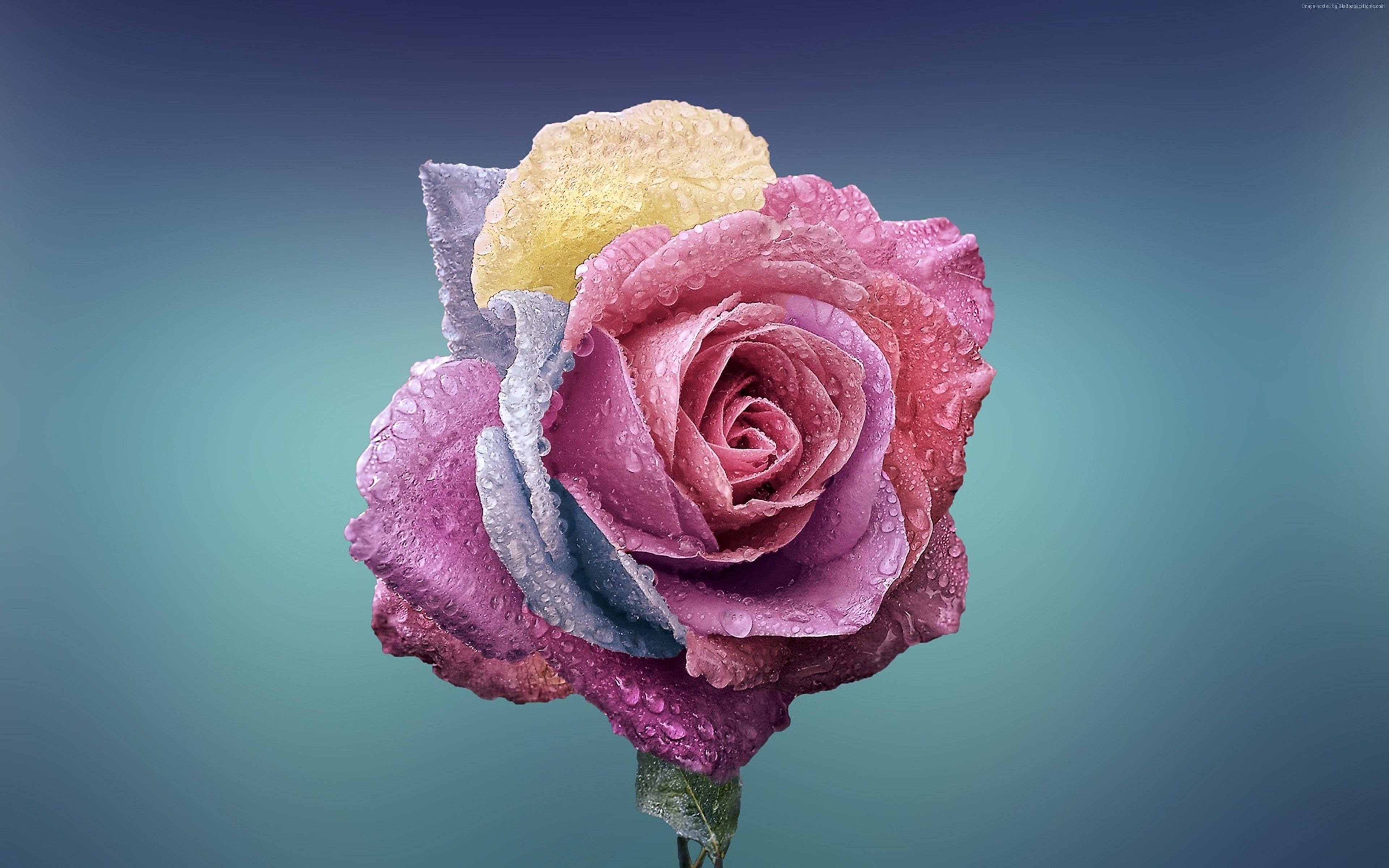 Roses Flower 4k Wallpapers Wallpaper Cave